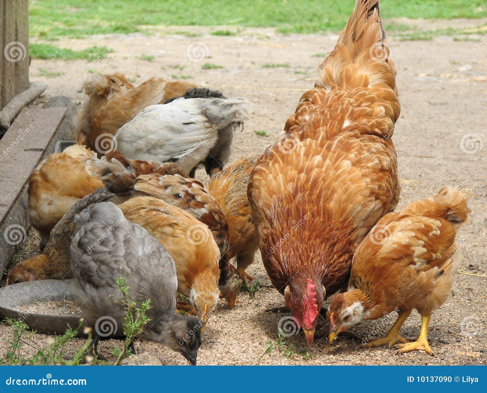 what chicken has no grain diet