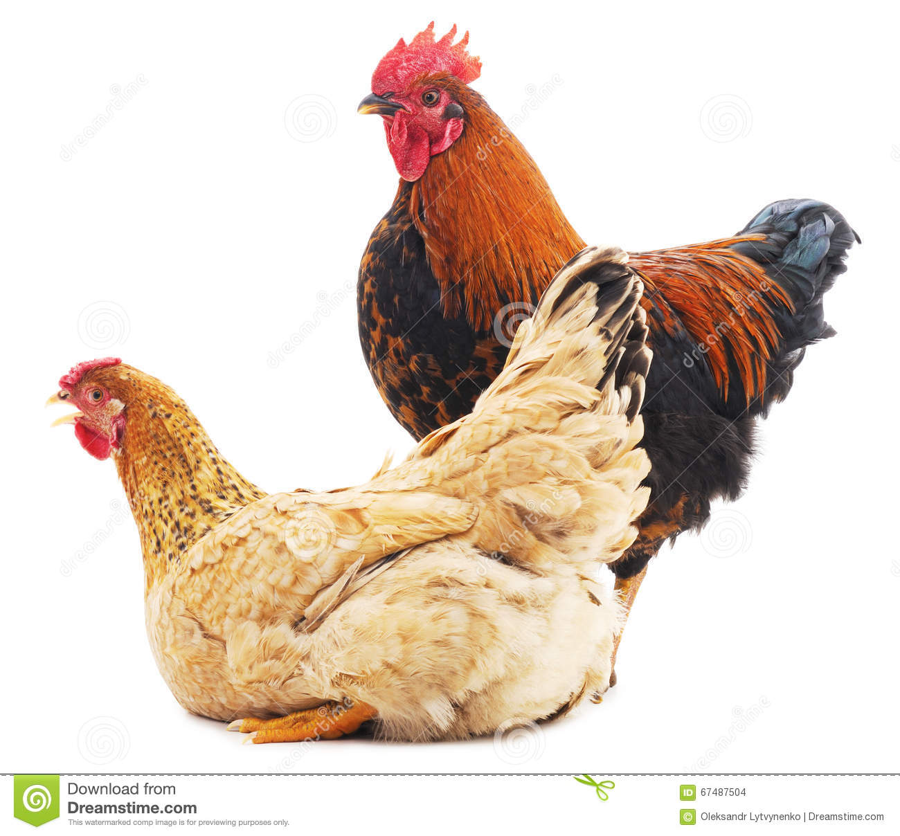 Cock and pullet