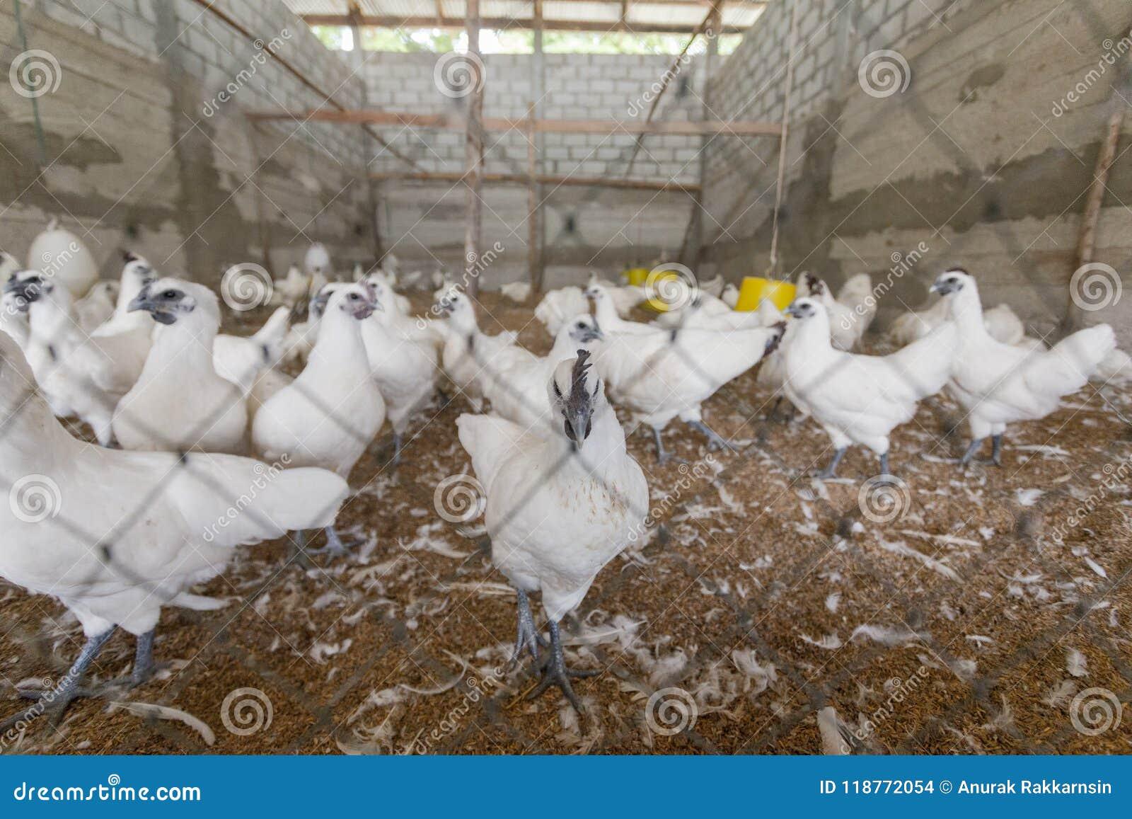 Hen happy in farm