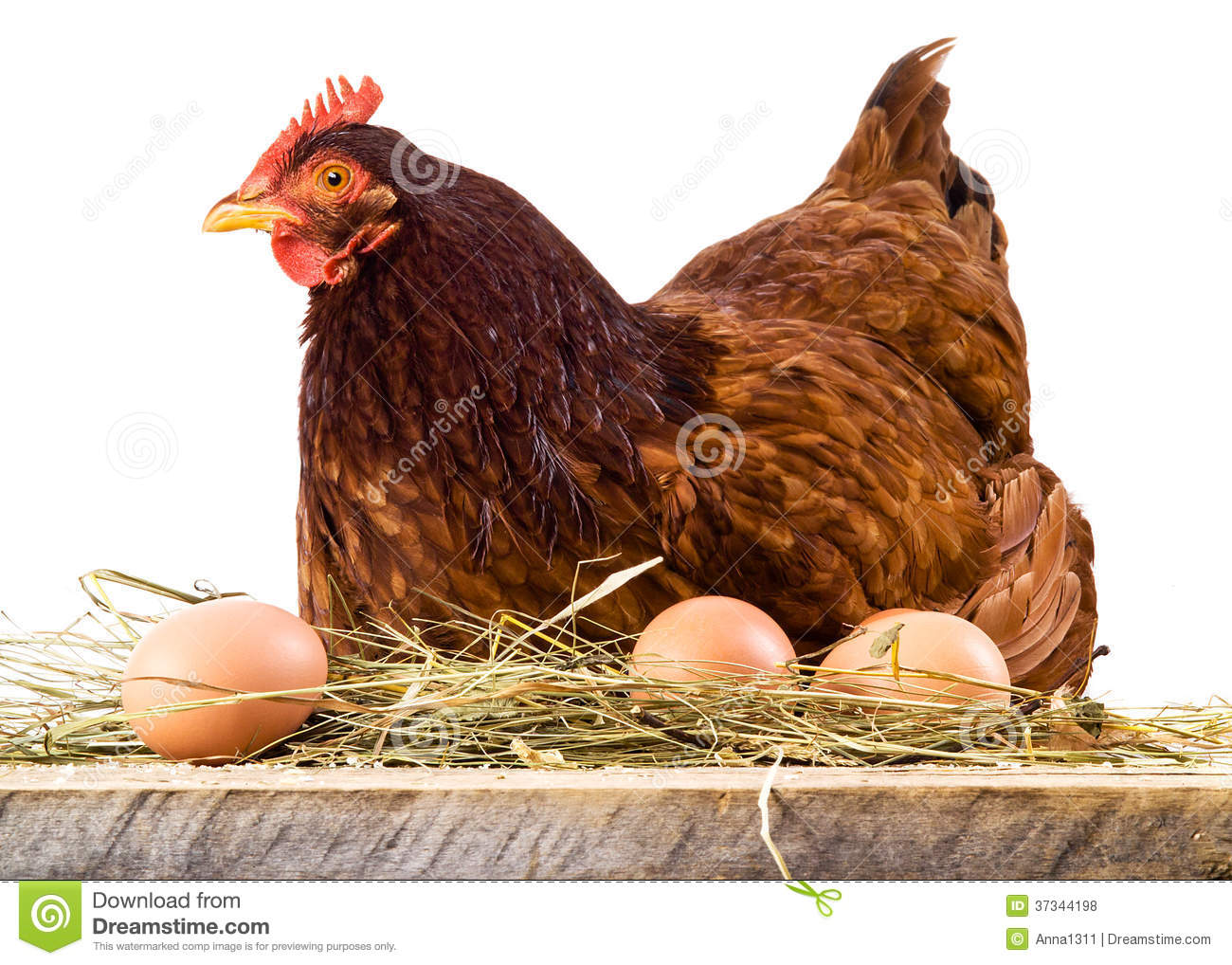 Hen in hay with eggs isolated on white