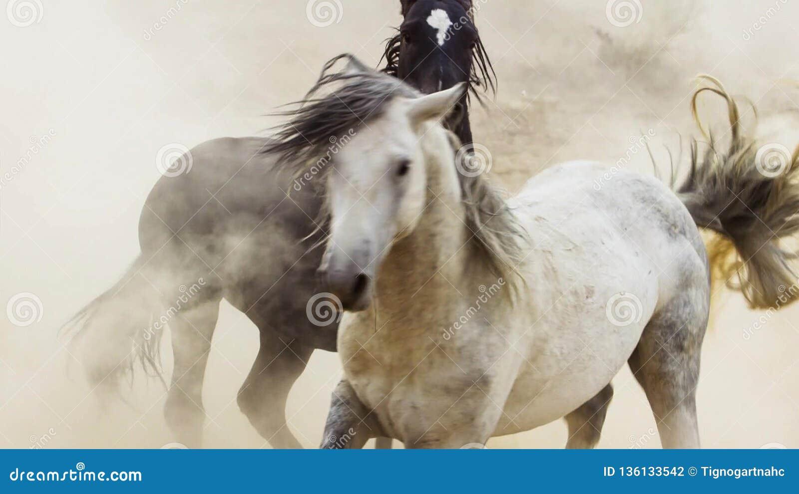 Hengste, wilde Mustangs versuchen, die Pools, das Kämpfen zu beherrschen von Rivalen, die zu nahes in der Wüste von Nevada riskie