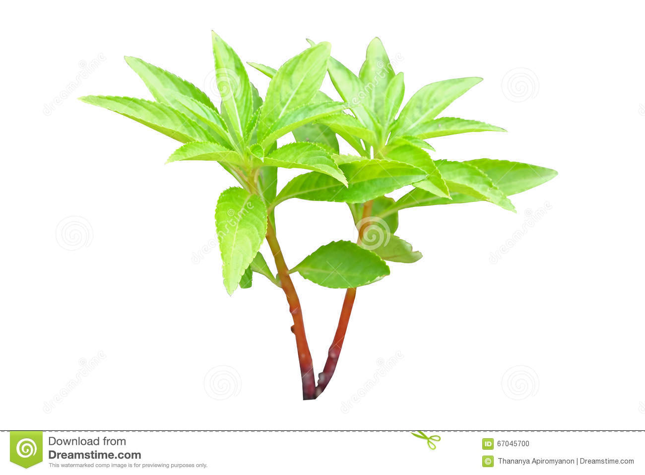 Henna Tree Young Plant Stock Photo Image Of Outdoor 67045700