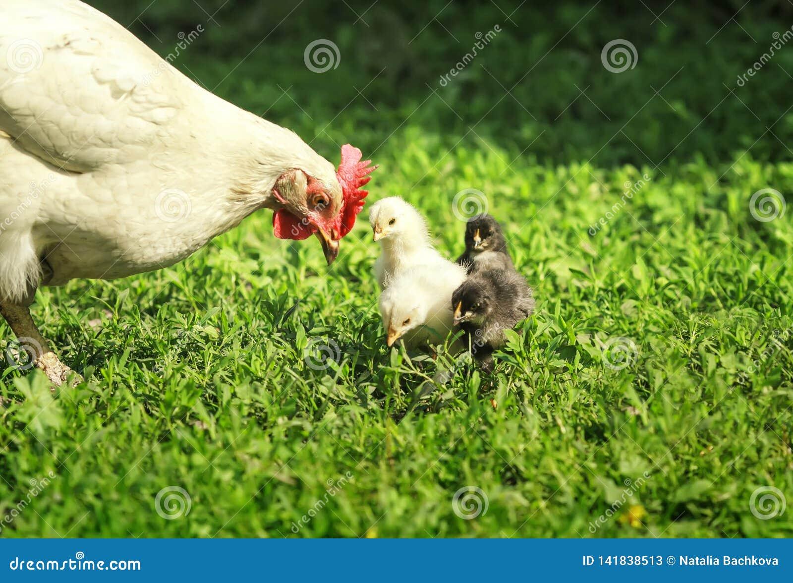 Henne und kleiner Huhn-, Gelber, Schwarzer und Roterweg auf dem üppigen grünen Gras im Bauernhofyard an einem sonnigen Frühlingst