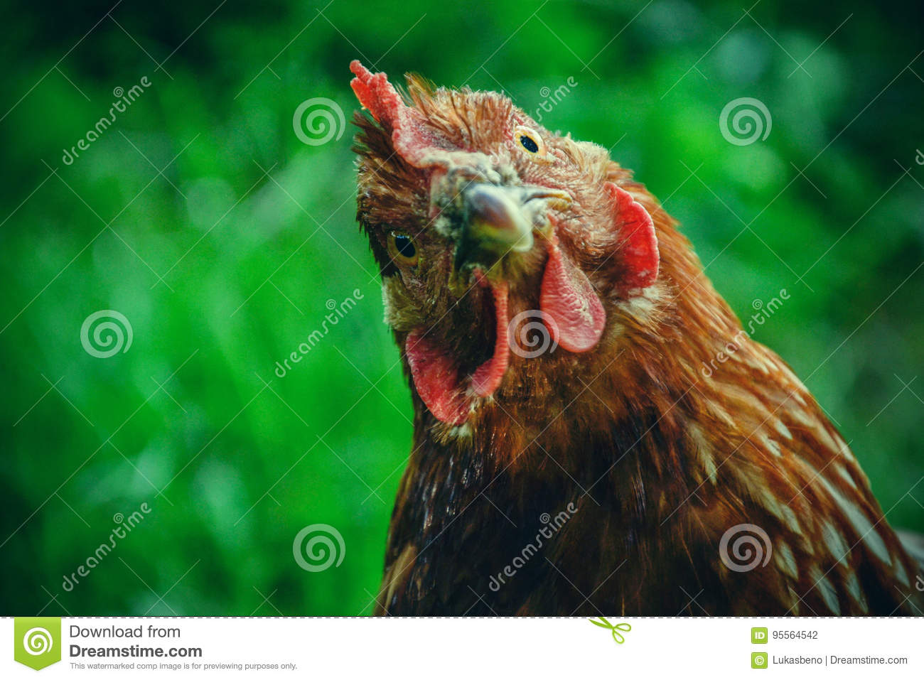 Hens feed on the traditional rural barnyard at sunny day. Detail of hen head. Chickens sitting in henhouse. Close up of chicken