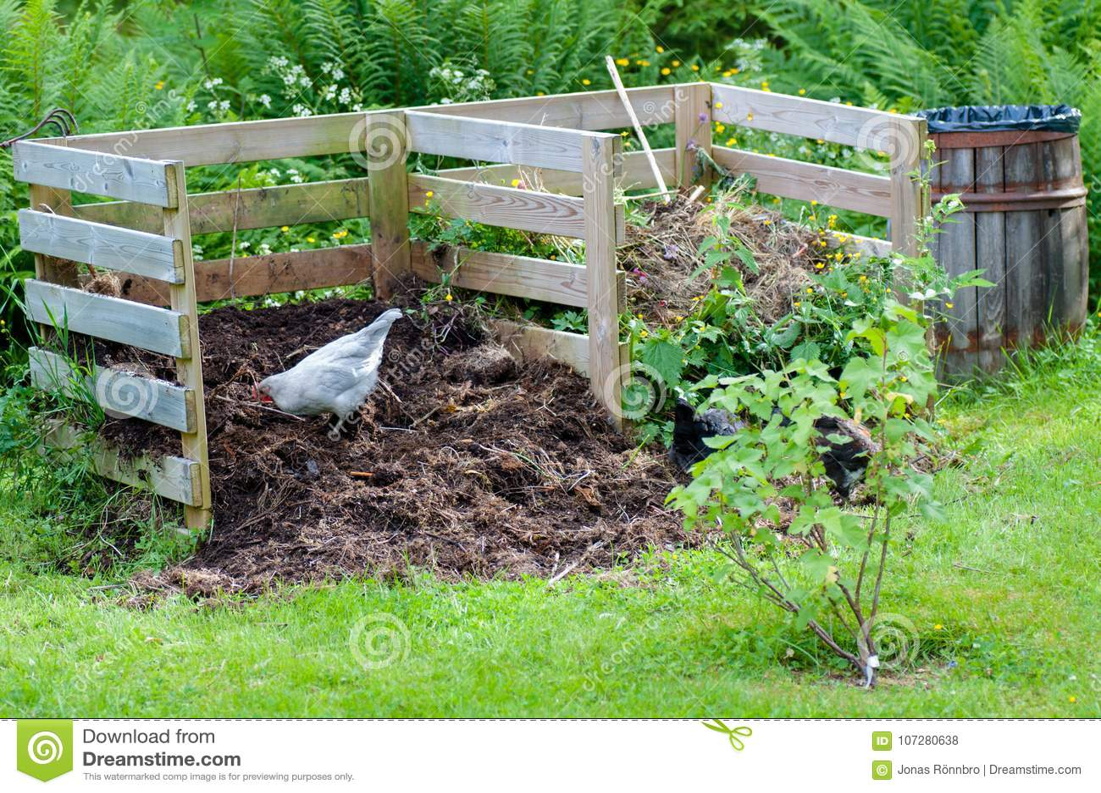 Hens working in the garden compost
