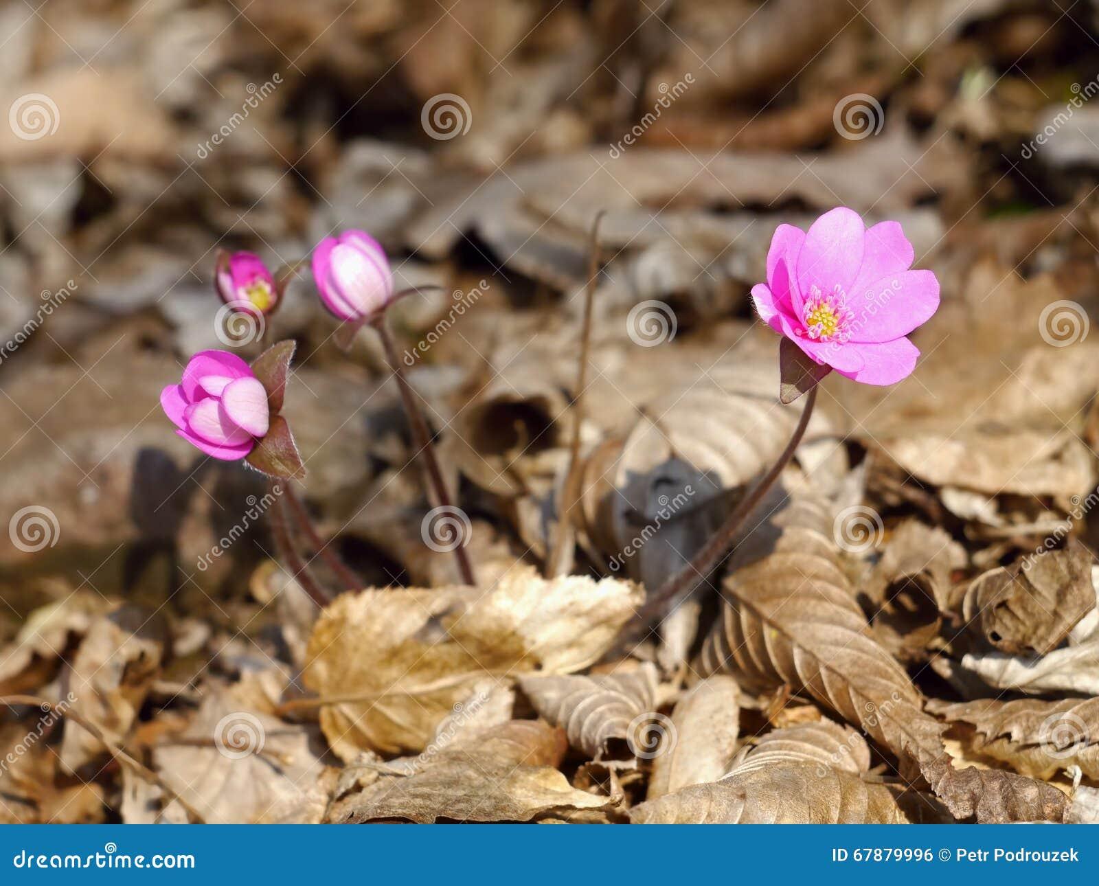 Hepatica春天