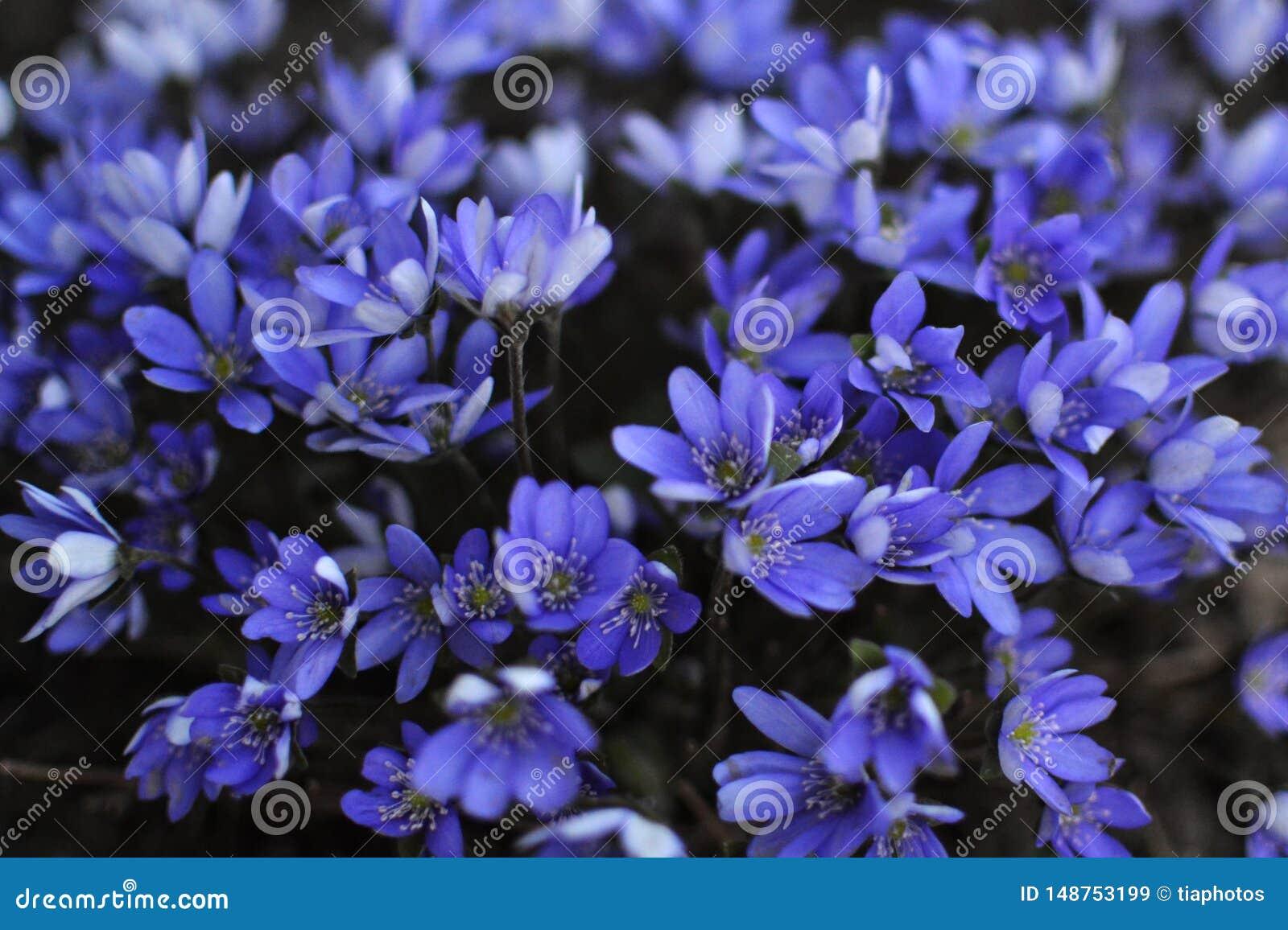 Hepatica de la anémona de las flores