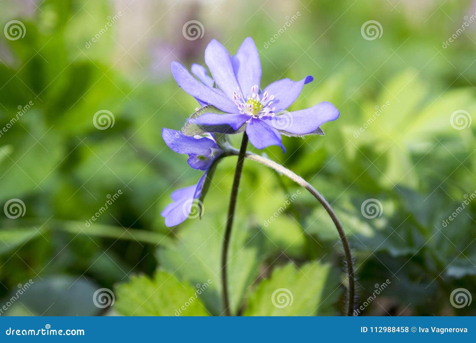 Hepatica nobilis in bloom, early spring wildflowers