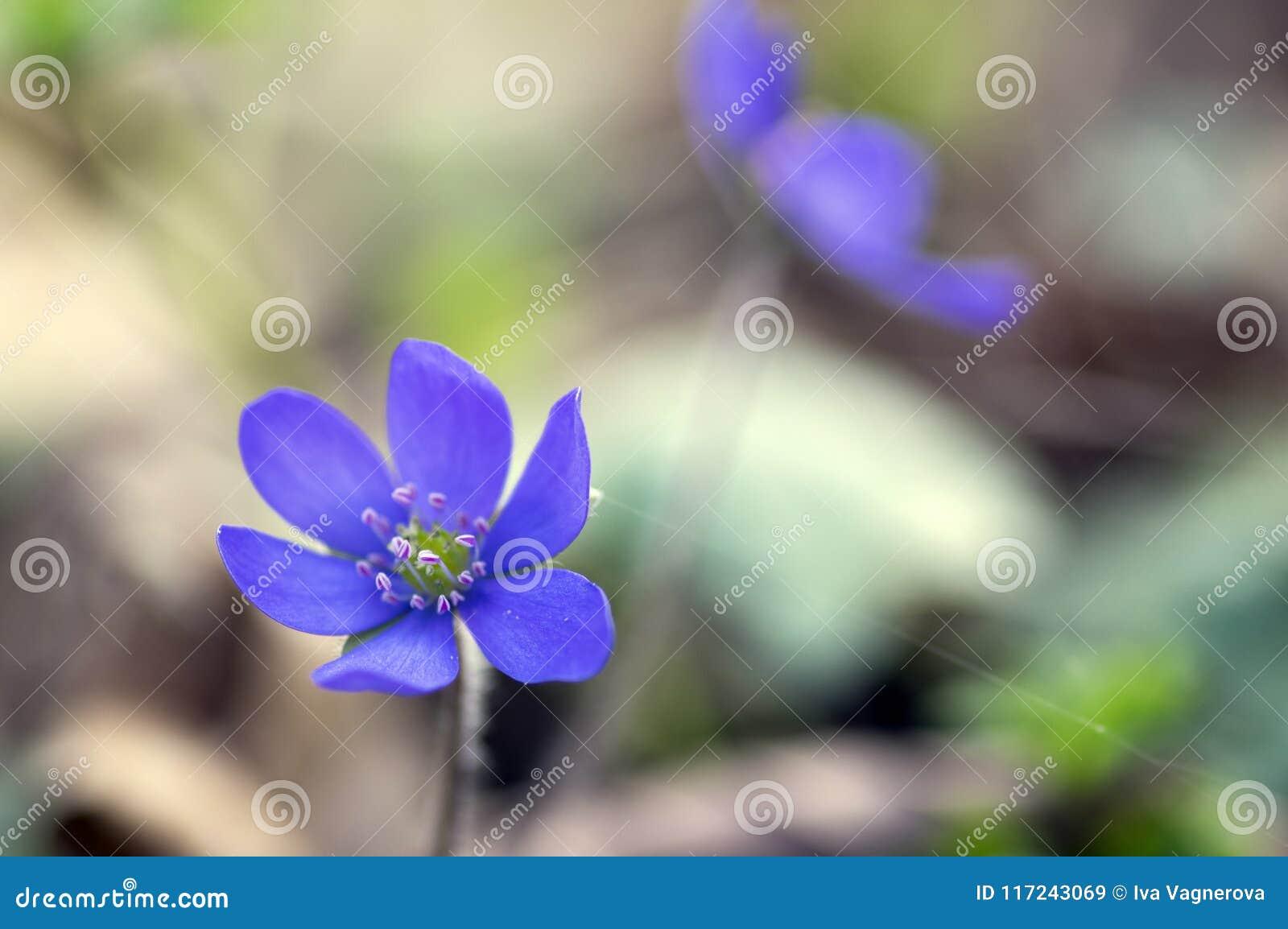 Hepatica nobilis in bloom single blue violet purple small flowers hepatica nobilis in bloom single blue violet purple small flowers early spring wildflowers mightylinksfo
