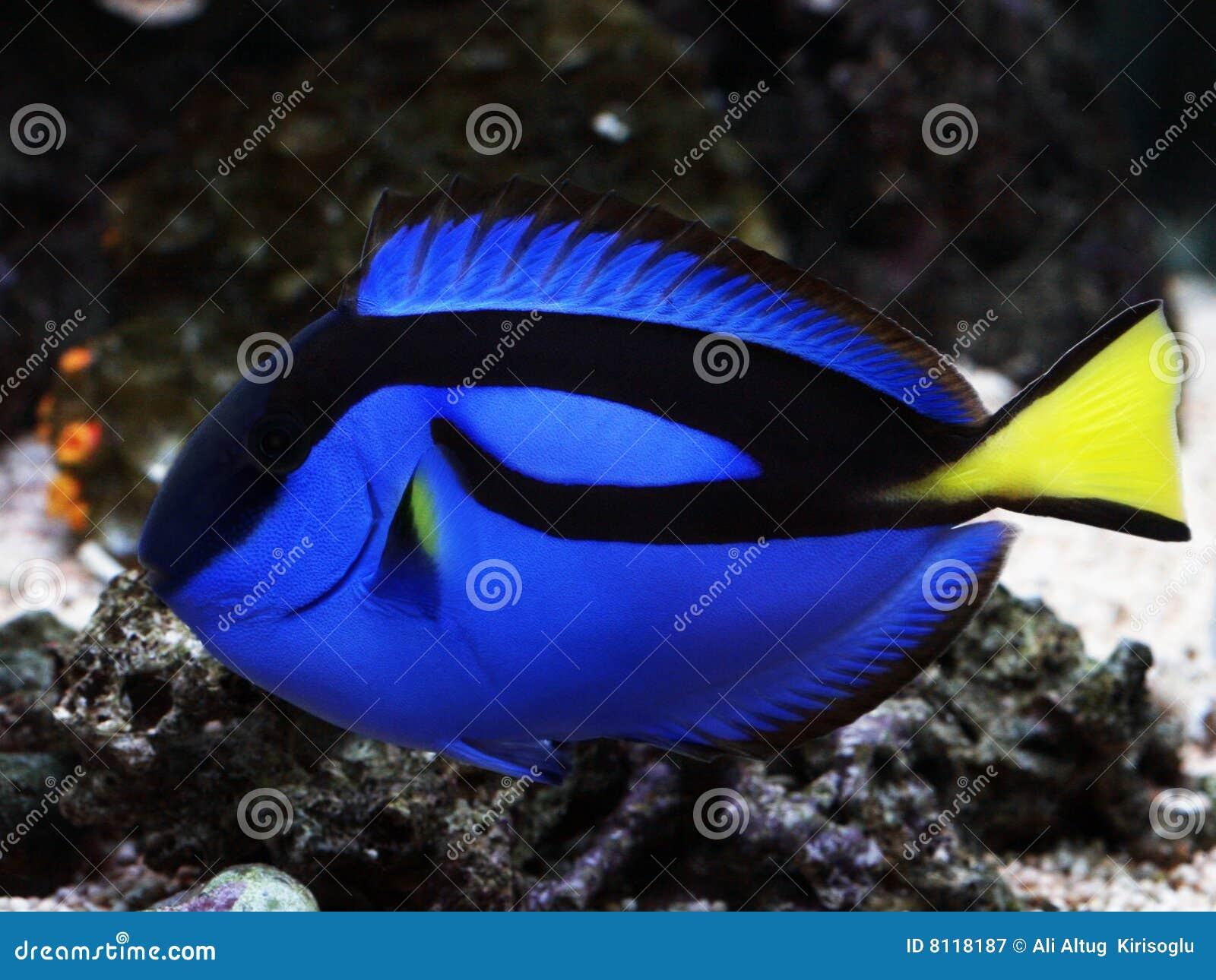 Hepatus real azul del paracanthurus de la espiga