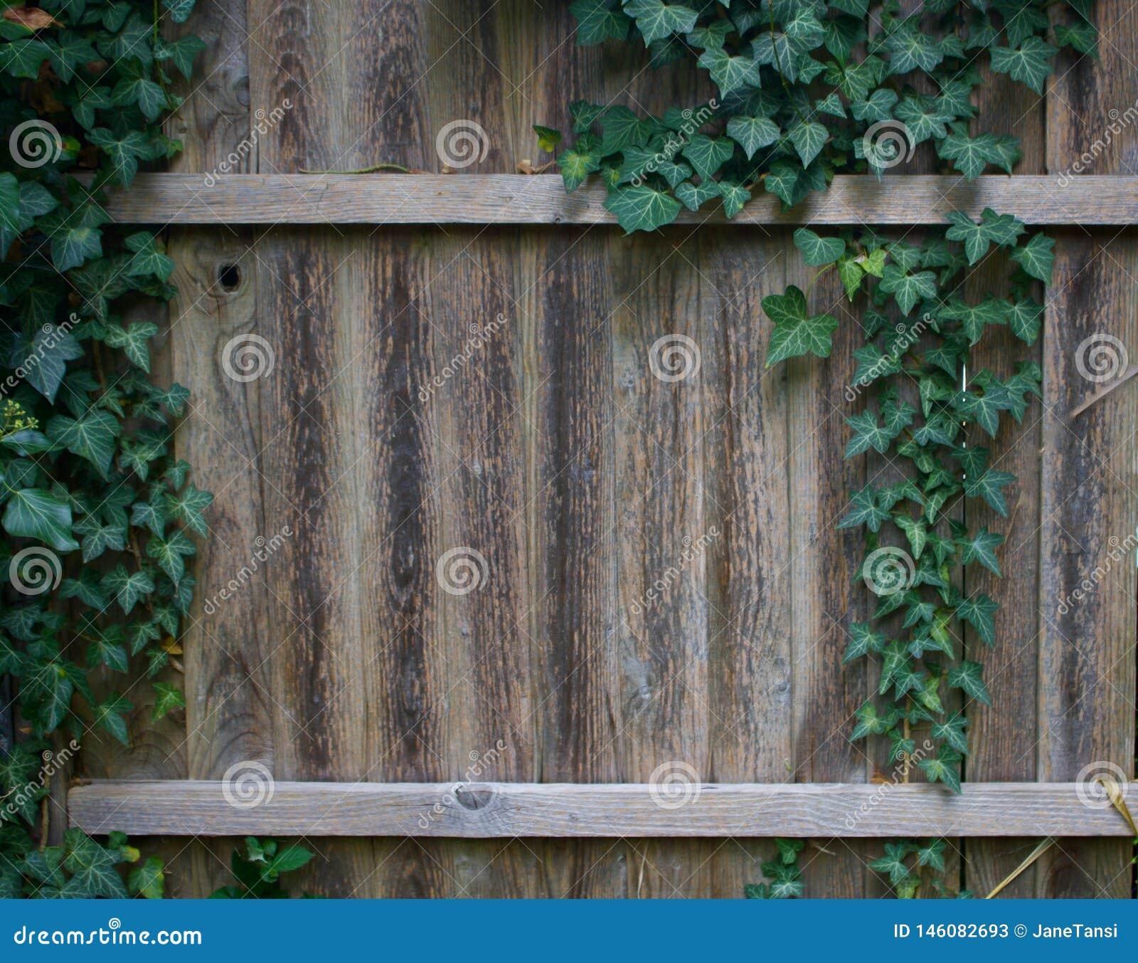 Hera que cresce na cerca de madeira velha do jardim