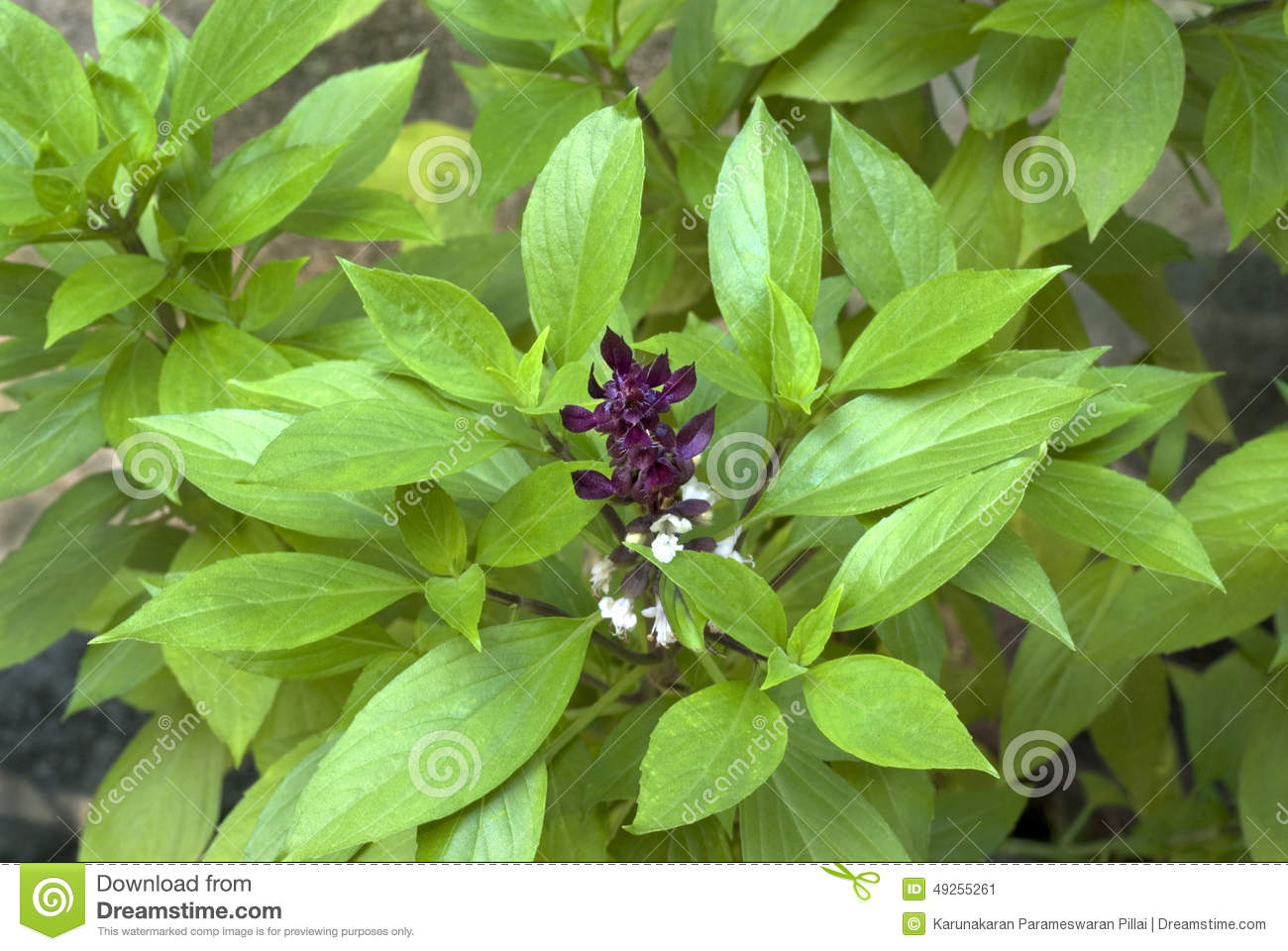 Tulsi Plant Hd Wallpaper: Herb- Clove Basil- Leaves And Flowers Stock Image