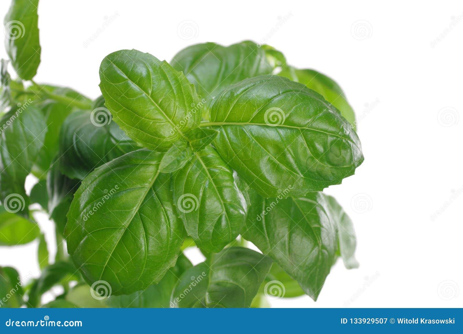 Herb green basil in flowerpot