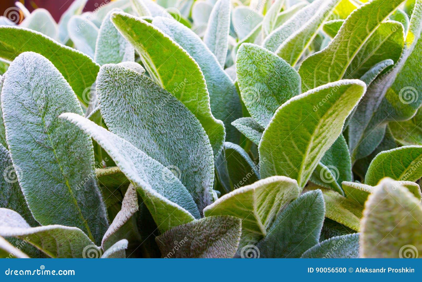 Herb Lambs-oor