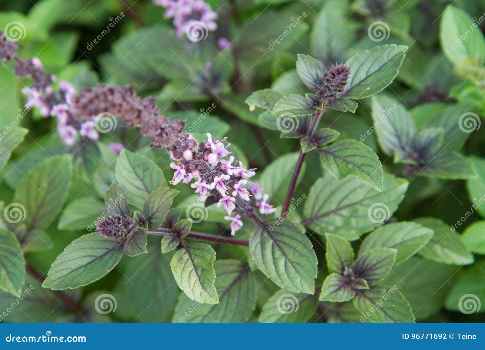 Herb: mint