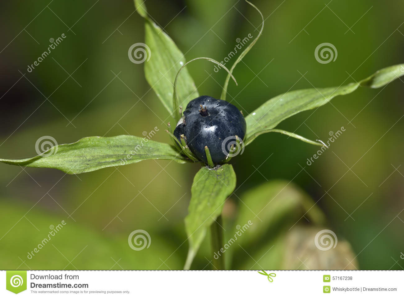 Herb Paris Berry
