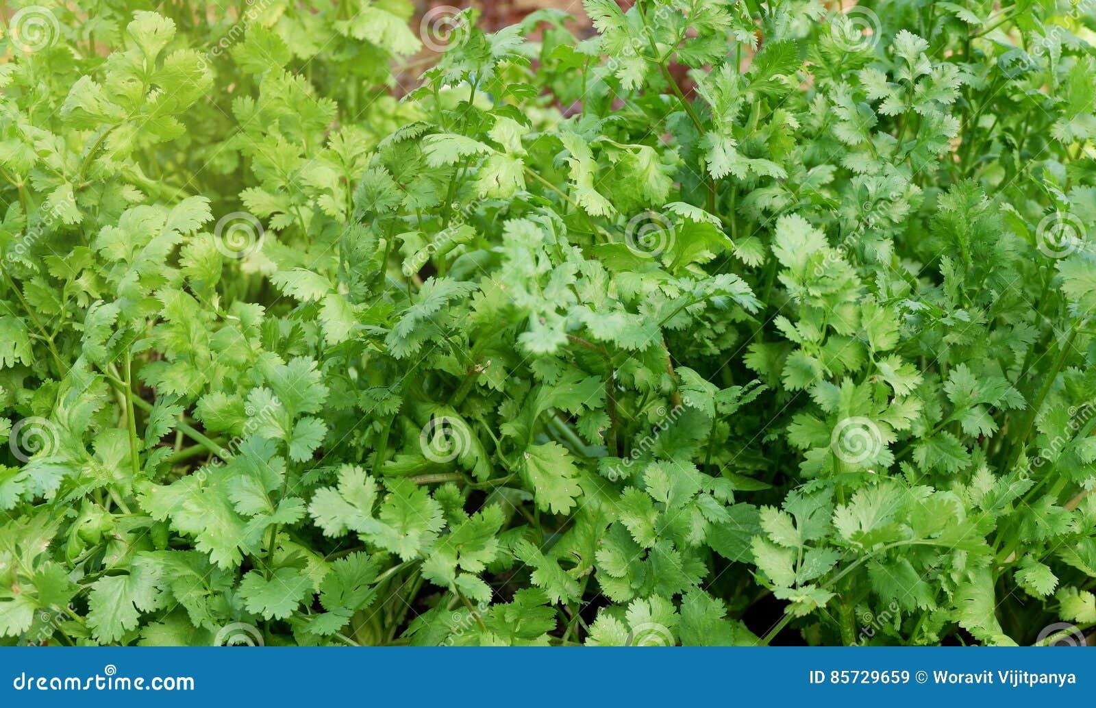 Herb Series Coriander/Cilantro