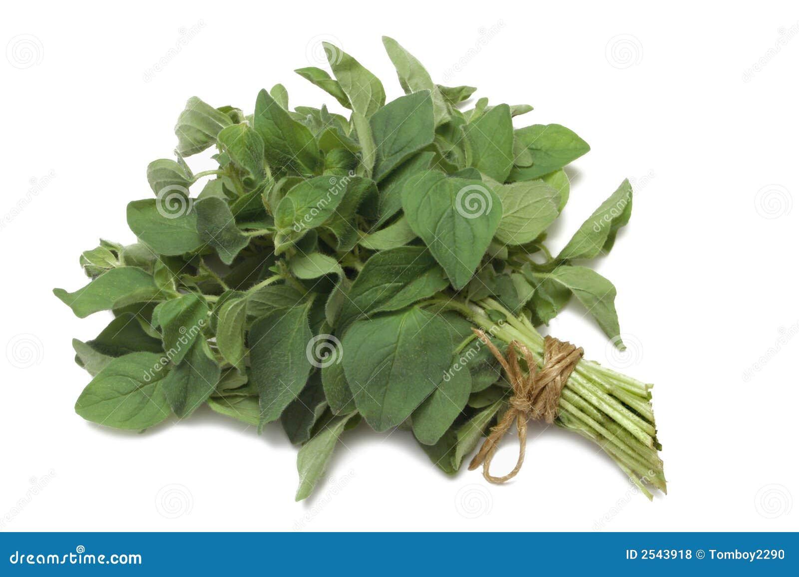Herb Series Oregano