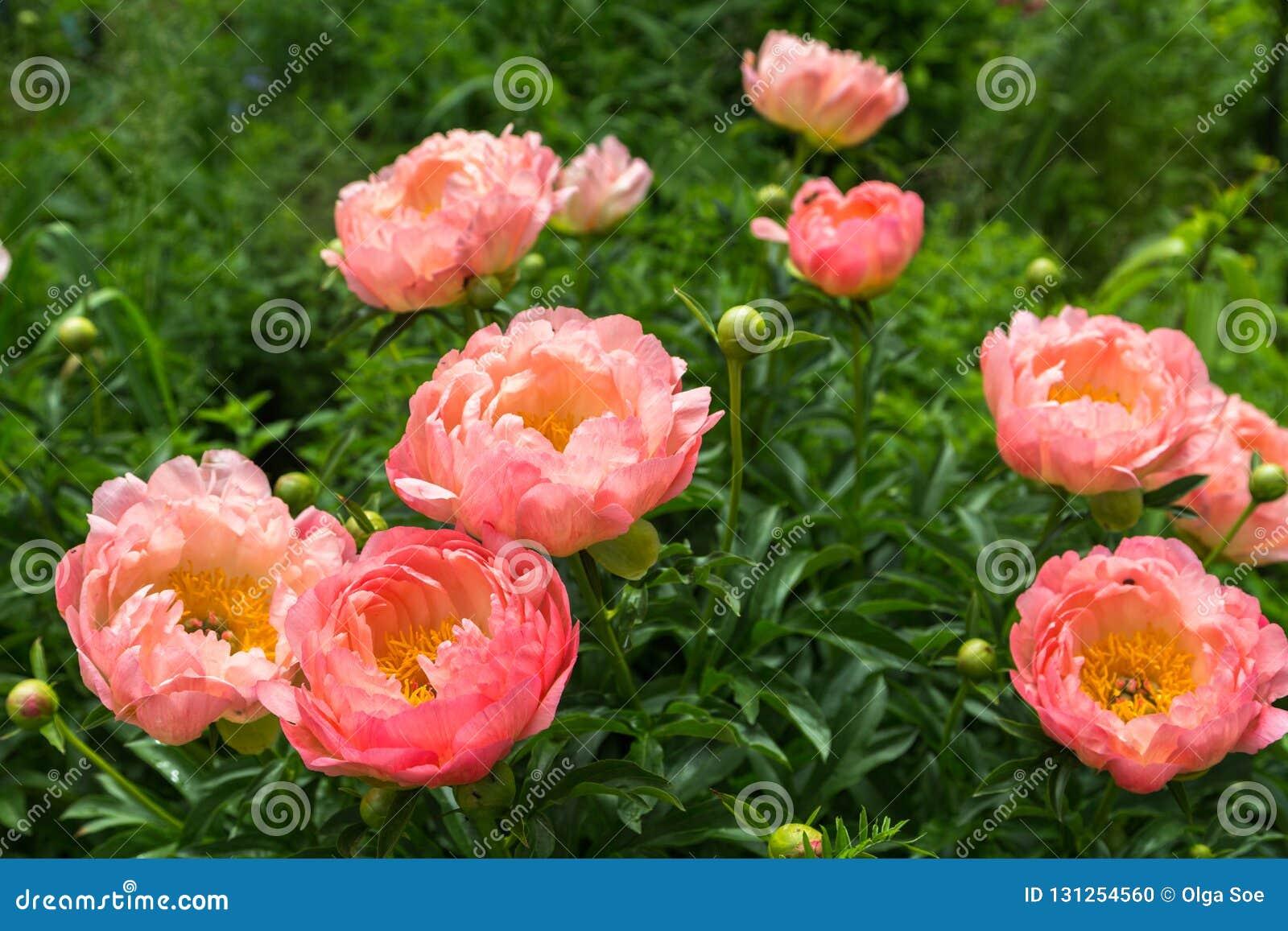 Herbaceous Peonies Pink Hawaiian Coral In Flower Stock Photo