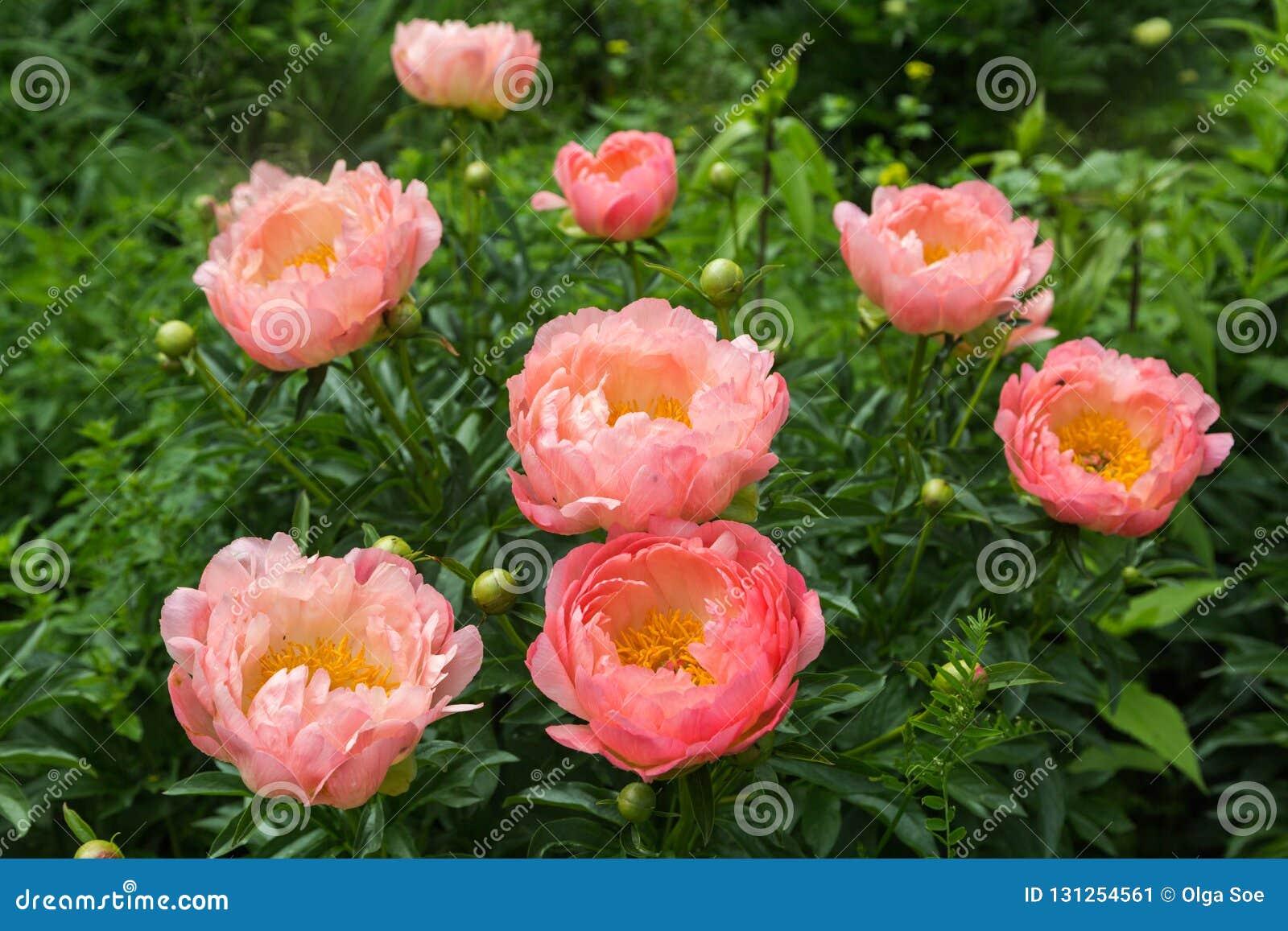 Herbaceous Peonies Pink Hawaiian Coral In Flower Stock Image