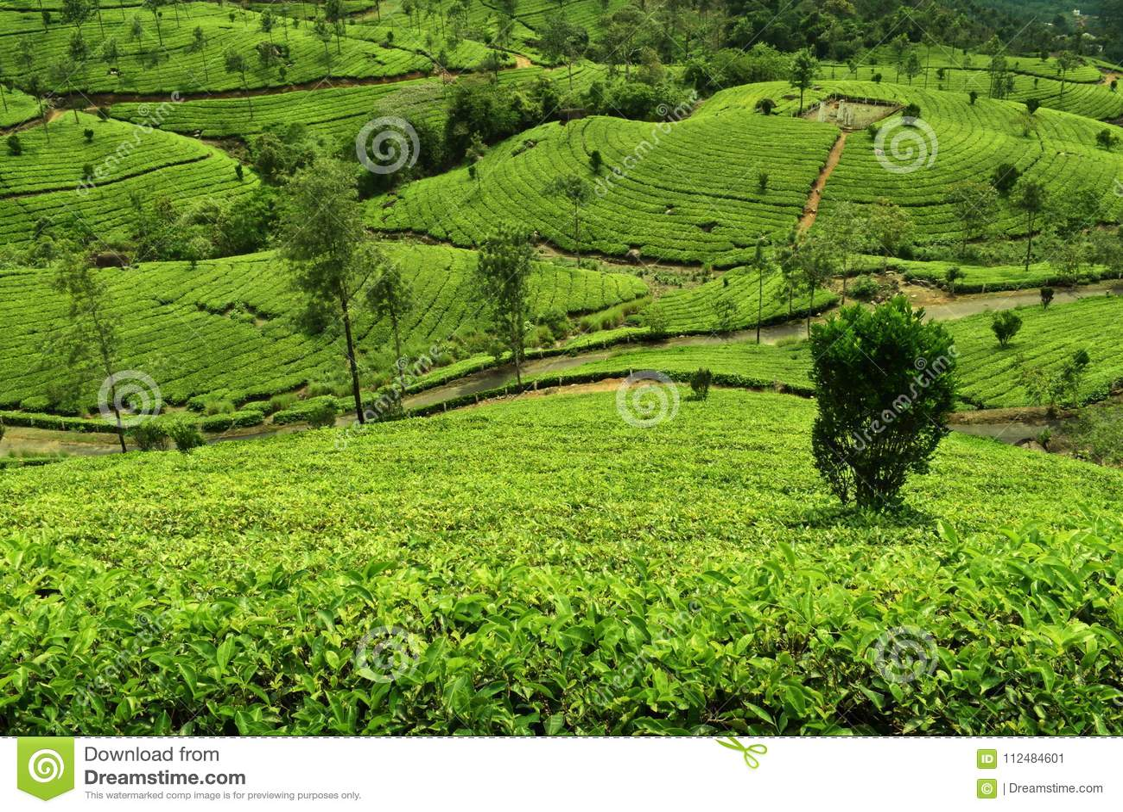 Herbaciana plantacja w munnar - zielony cień