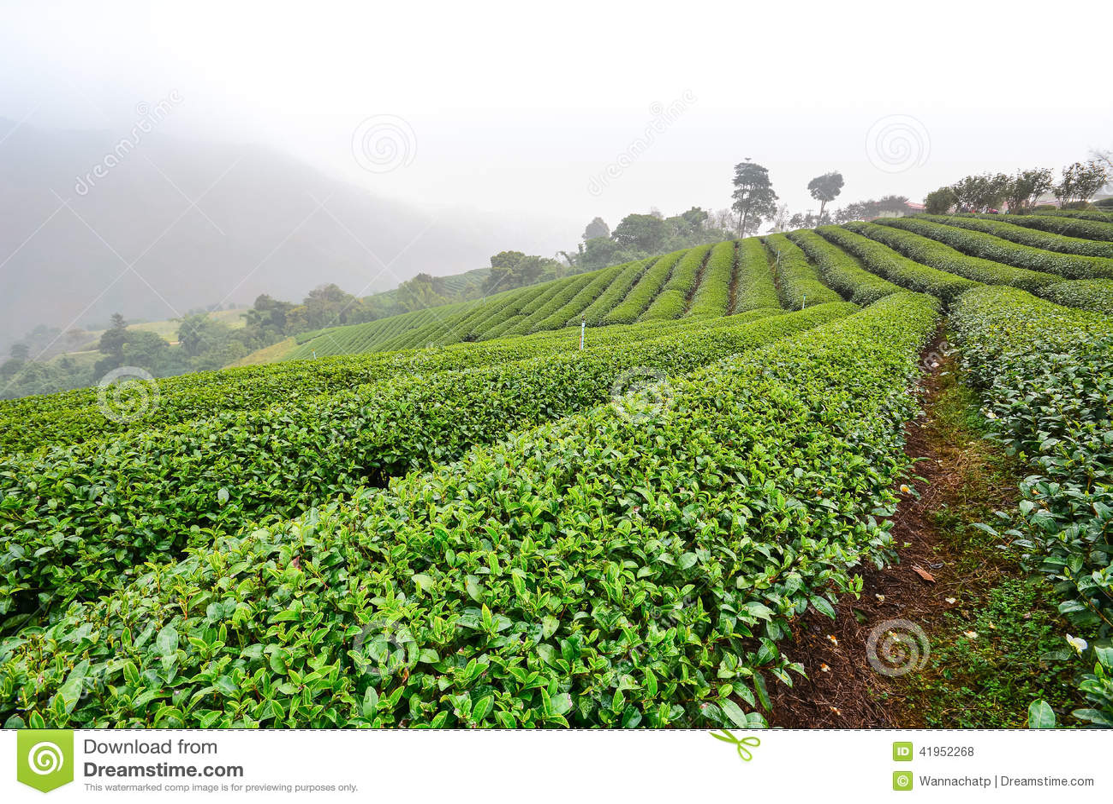 Herbaciana plantacja w ranek mgle