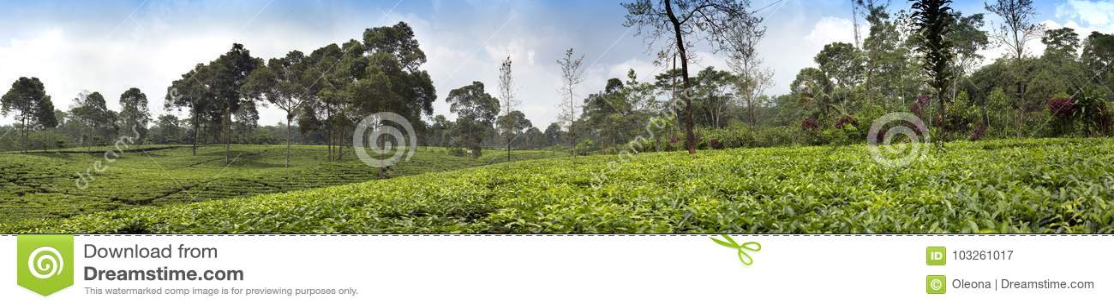 Herbaciana plantacja w Wonosobo borobodur Indonesia Java