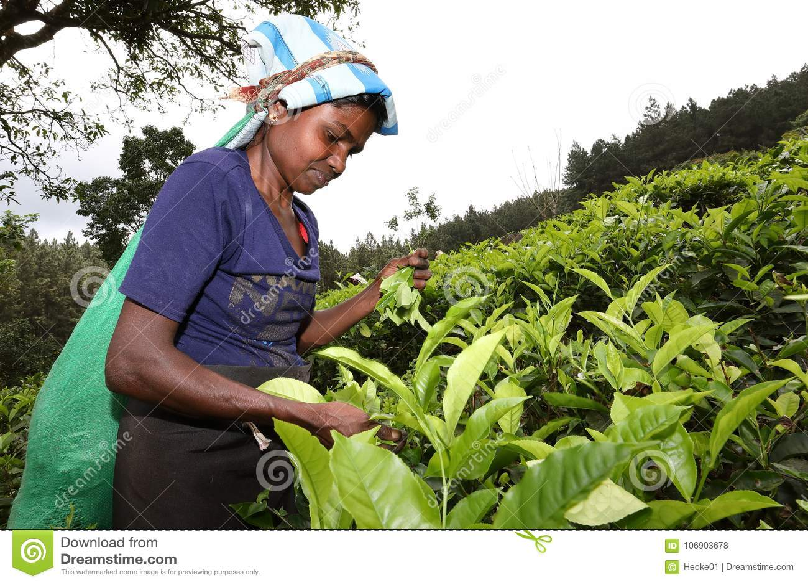 Herbaciana produkcja i herbaciani zbieracze w Sri Lanka