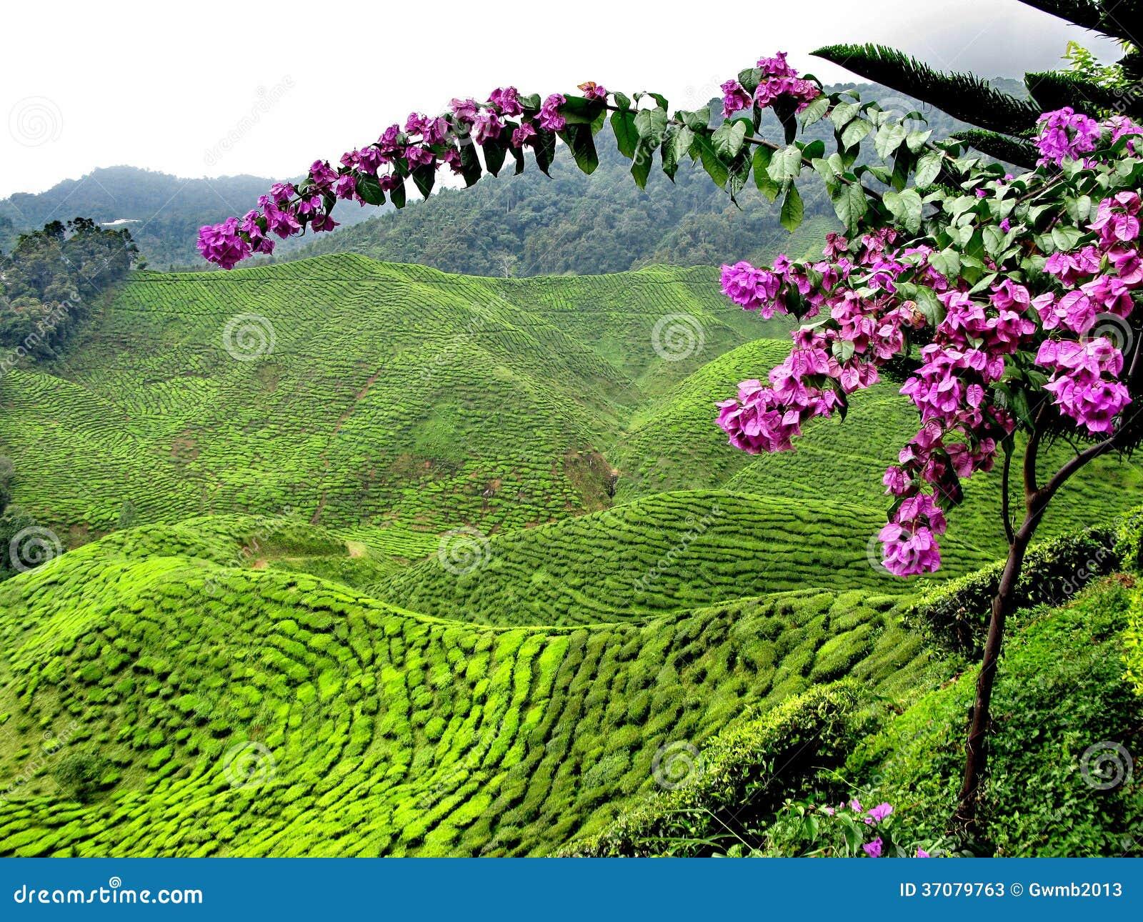 Download Herbaciane plantacje obraz stock. Obraz złożonej z przemysł - 37079763