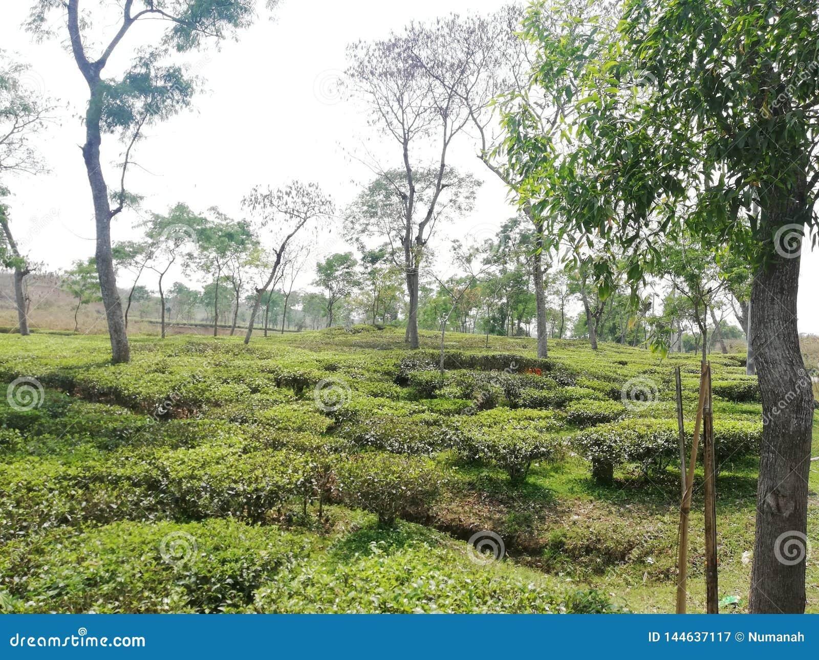Herbacianego ogródu obrazek