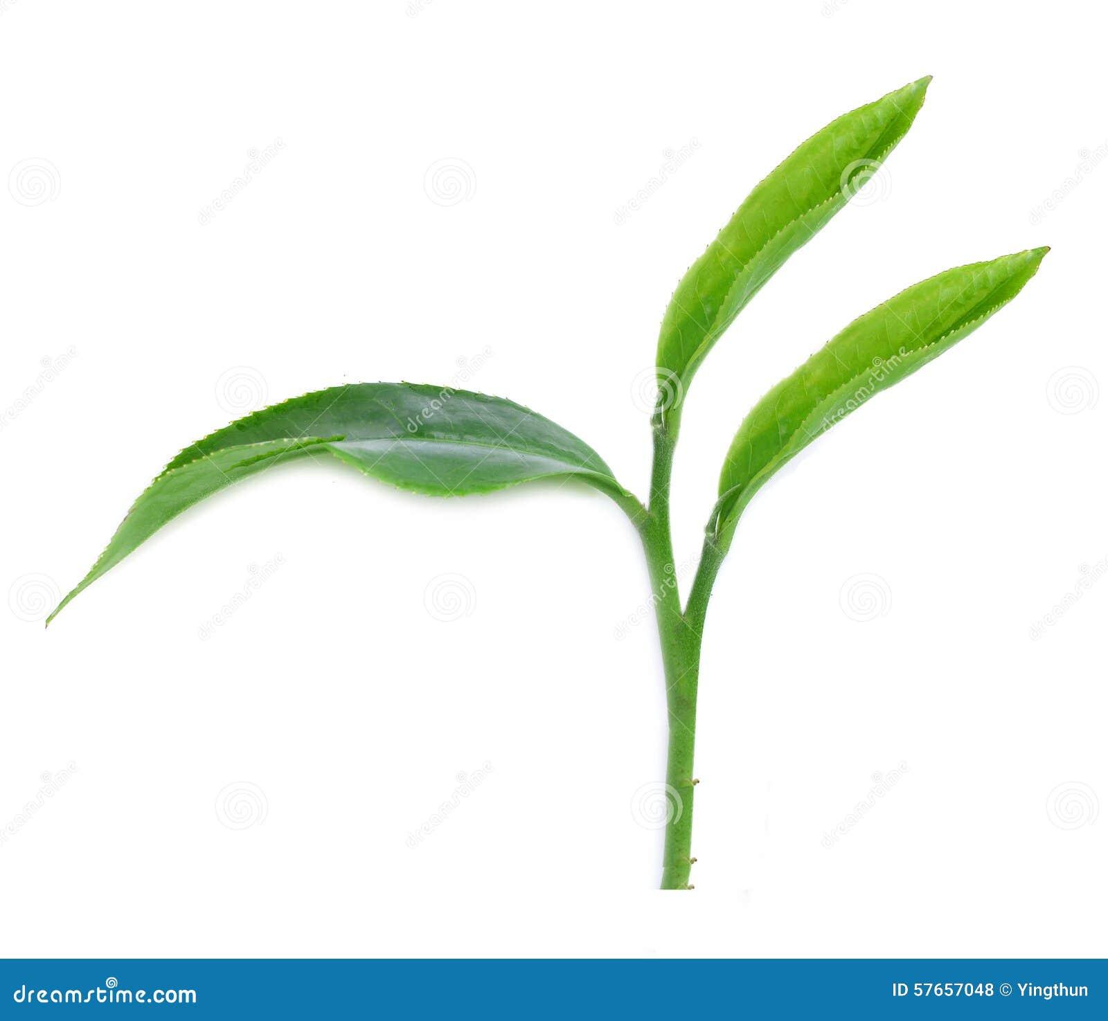 Herbaciani liście odizolowywający z białym tłem