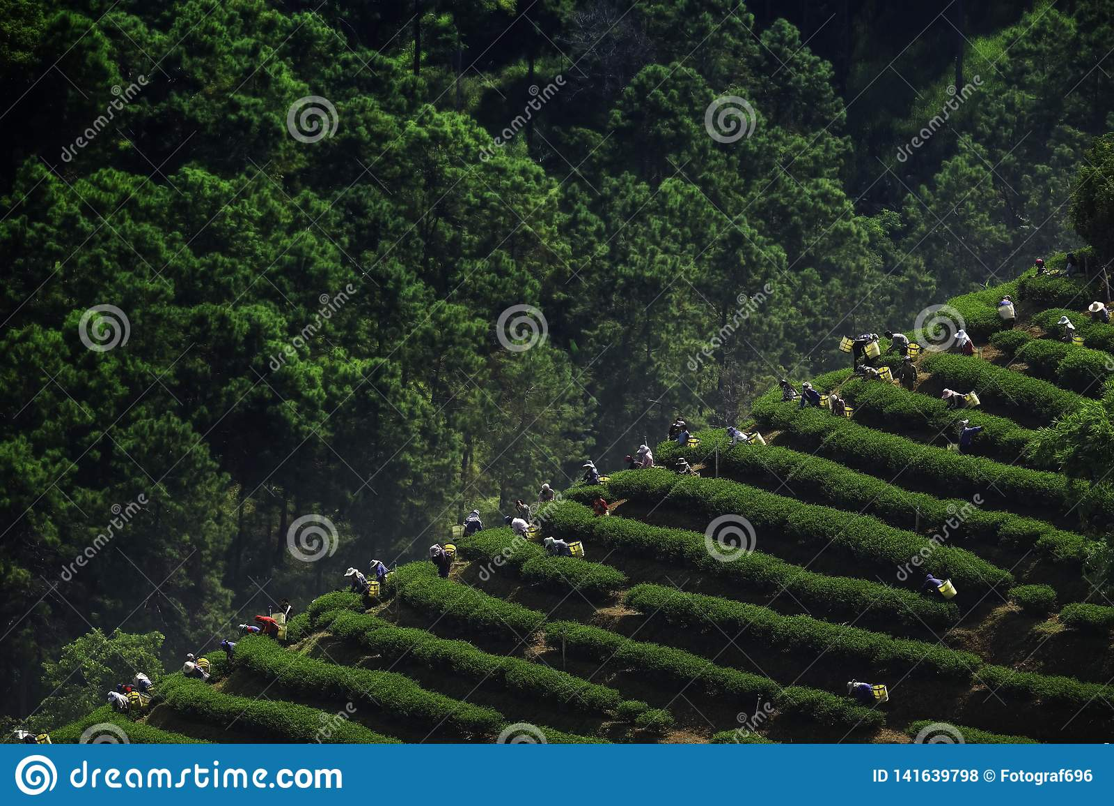 Herbaciany zrywanie w Chiang Raja Tajlandia