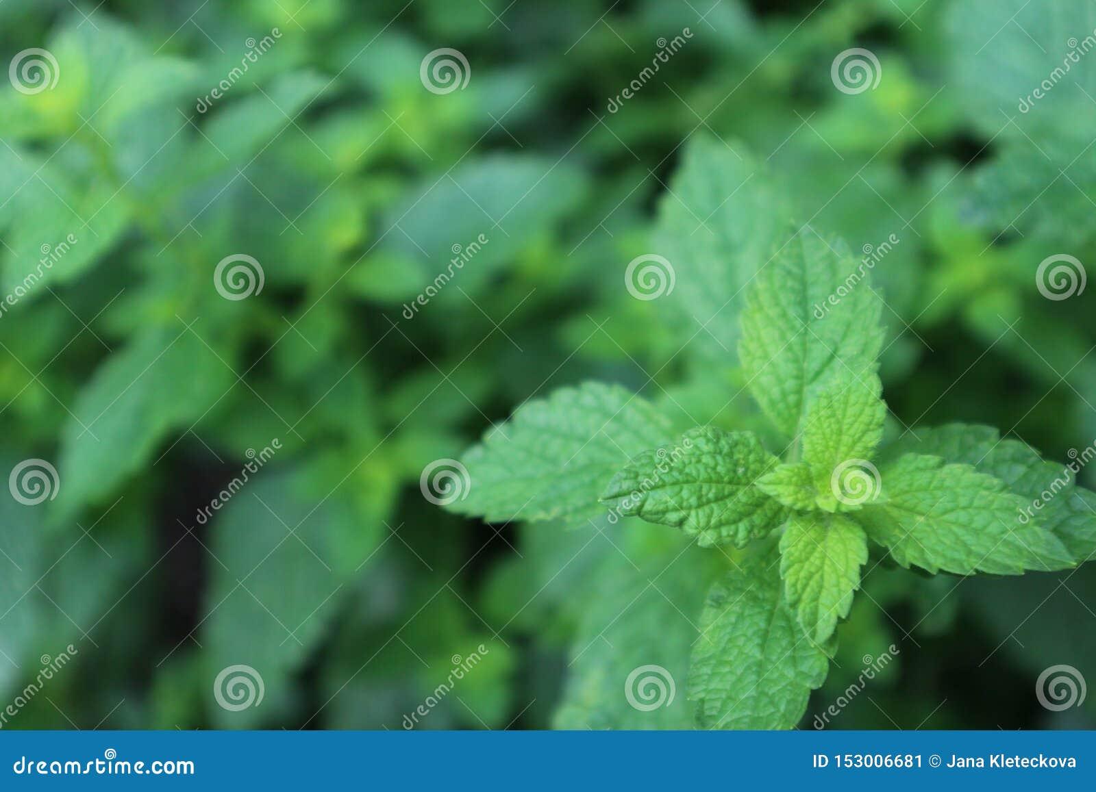 Herbal defocused texture, melissa officinalis herb plant background