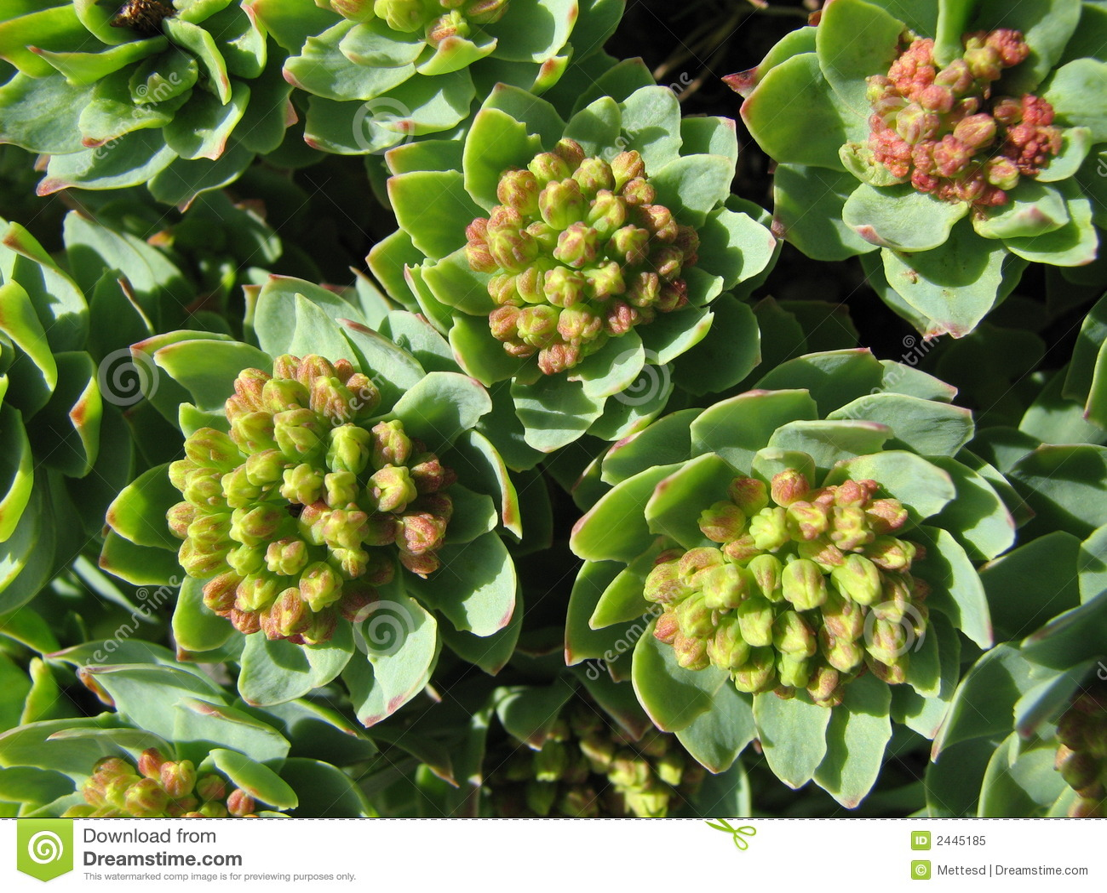 Herbal medicine - roseroot