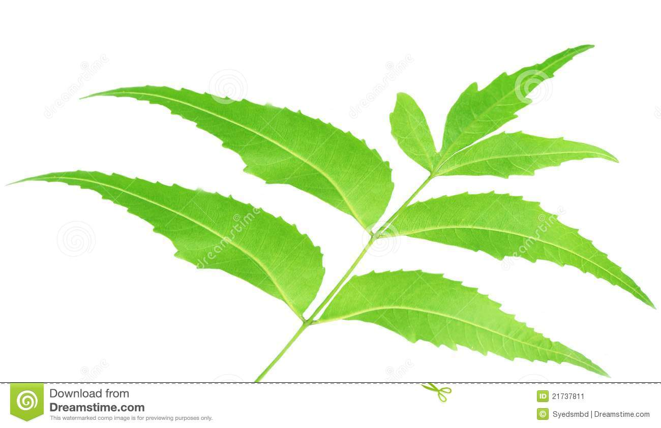 herbal neem leaves stock image image of clipping foliage 21737811. Black Bedroom Furniture Sets. Home Design Ideas