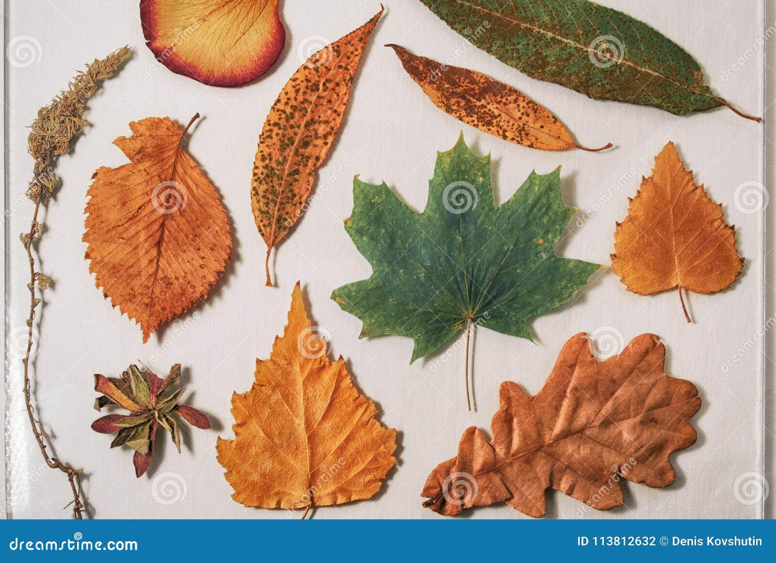 Herbarium von den trockenen Blättern der Eiche, der Birke, des Ahorns, der Weide, der Espe und des Wermuts