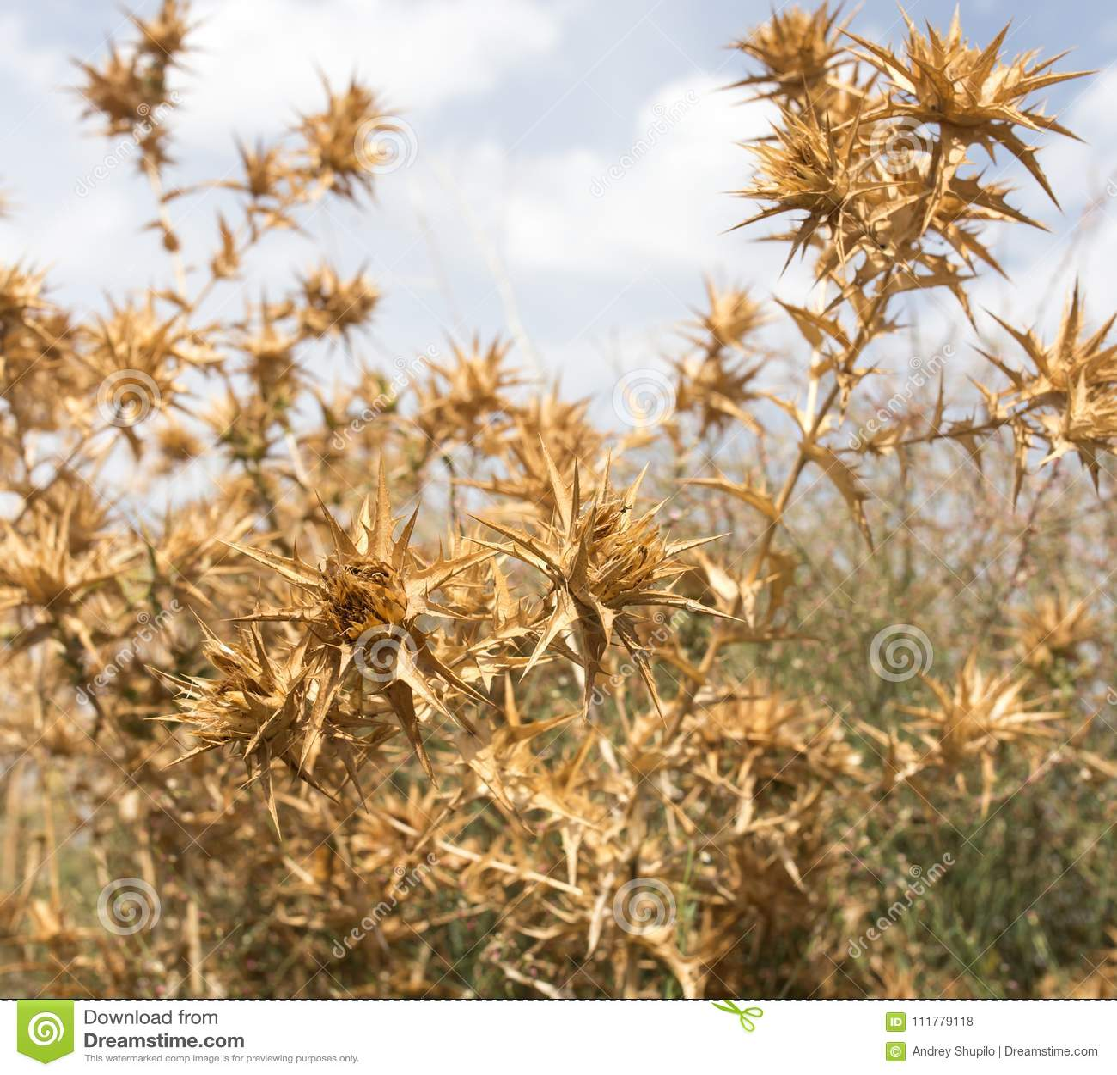 Herbe épineuse sèche contre le ciel