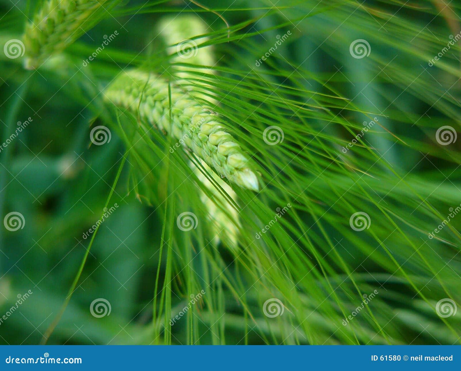 Download Herbe photo stock. Image du zone, lames, herbe, basse, ferme - 61580