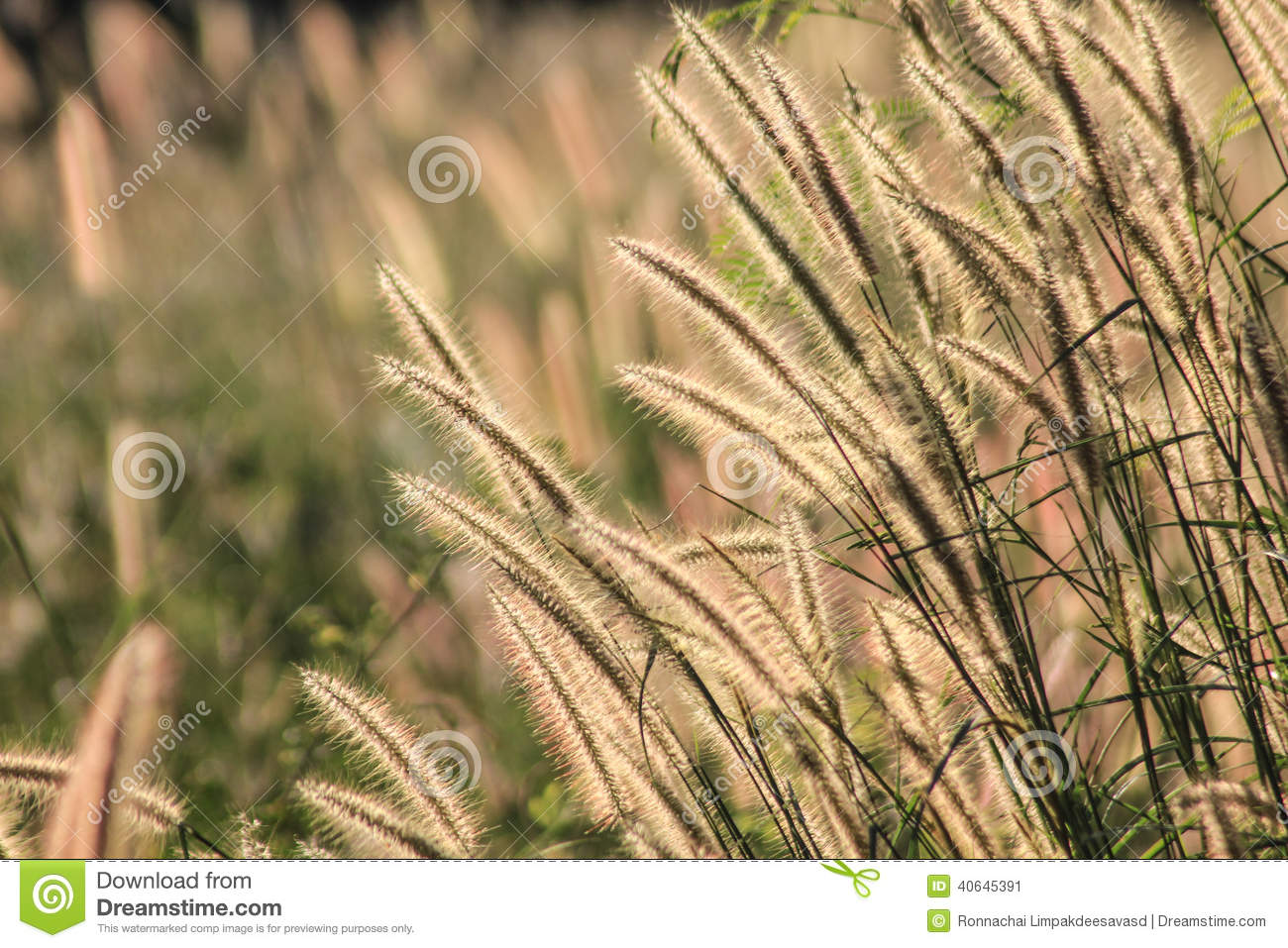 Herbe d Autumn Flowering