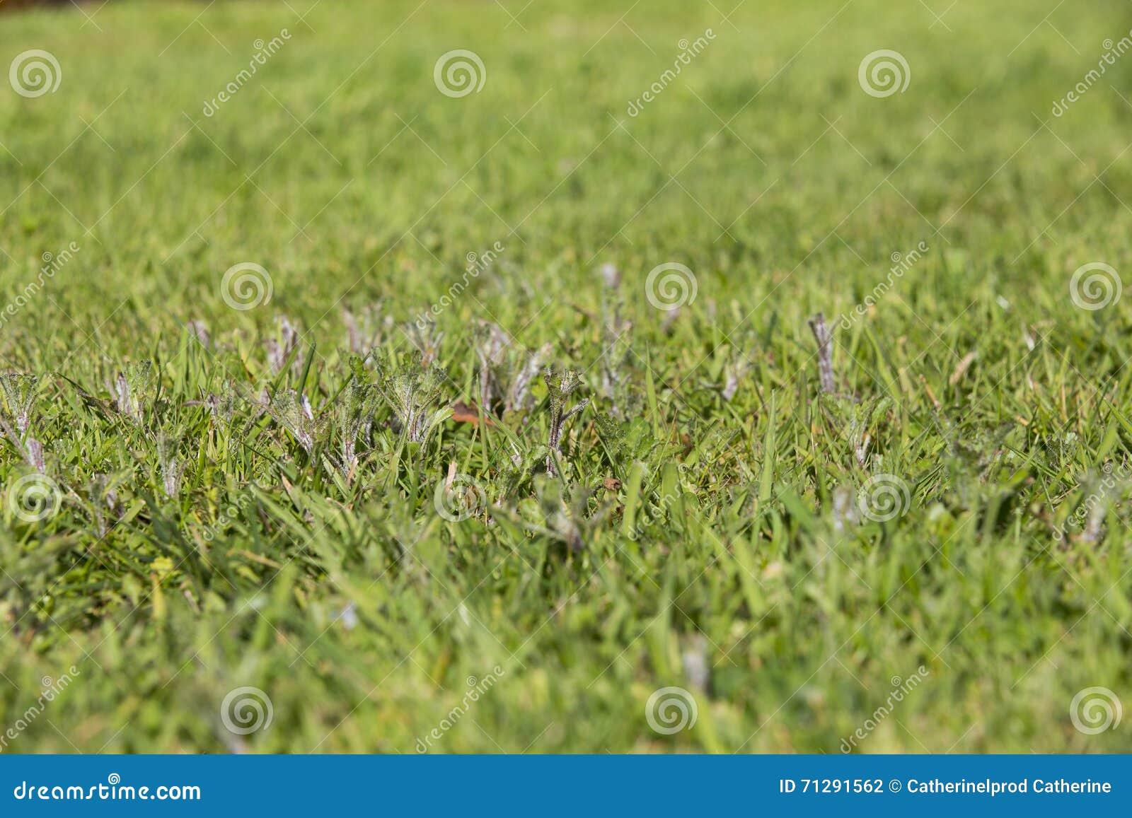Herbe de parasites de mauvaise herbe de pelouse photo stock image 71291562 - Mauvaise herbe pelouse ...