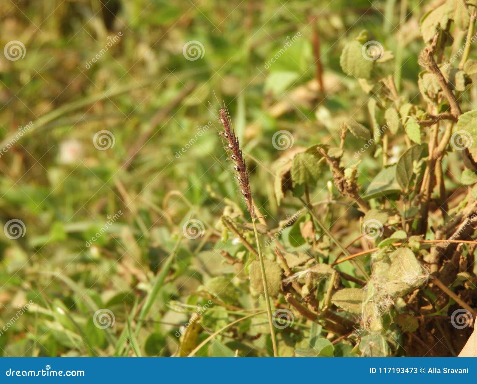 Herbe de rallonge coudée