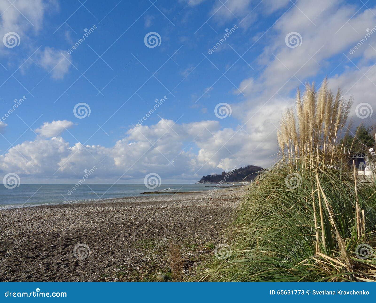 Herbe des pampas sur la plage, côte de la Mer Noire de la Russie