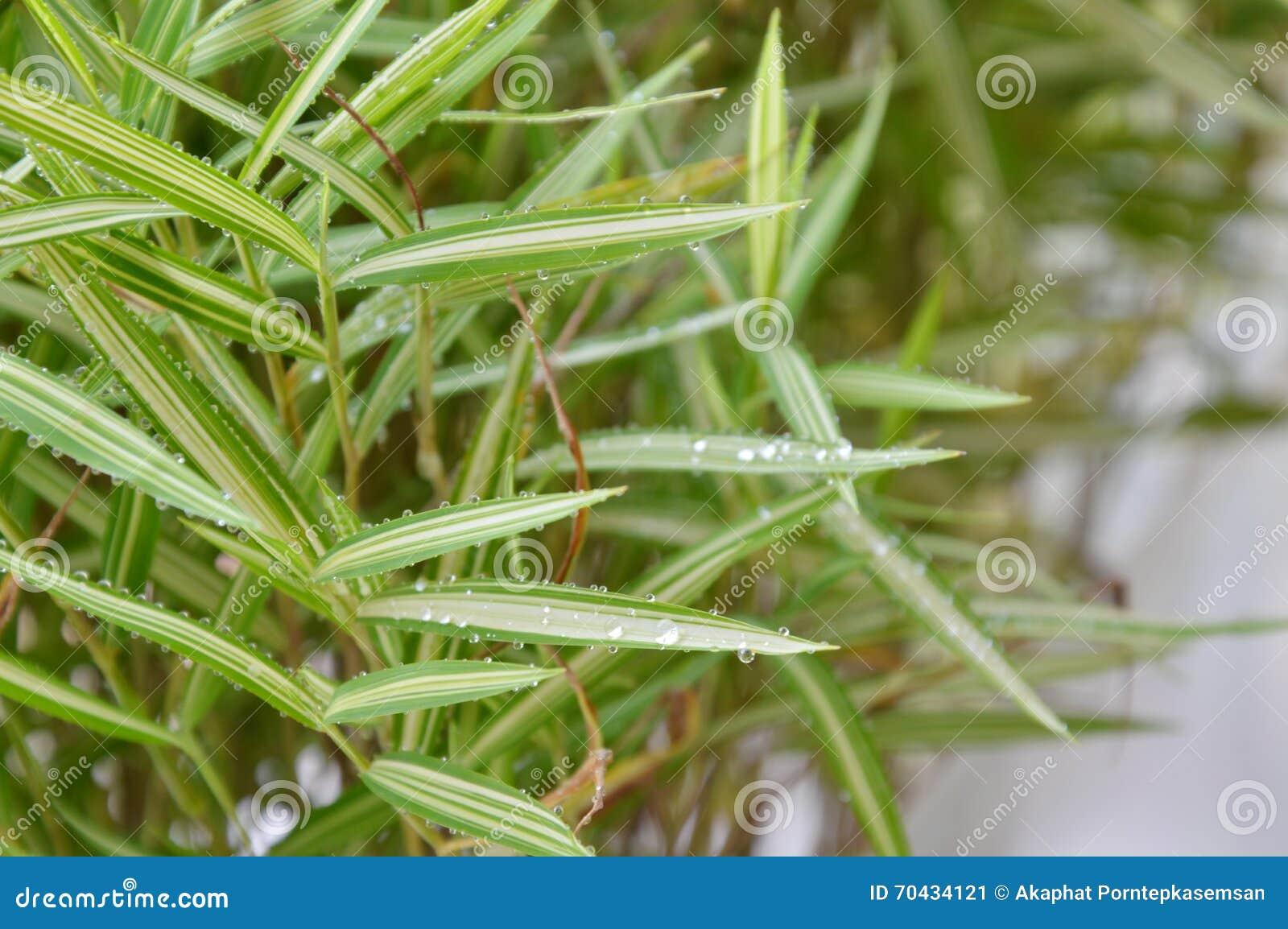 Herbe En Bambou De Haie Pour Le Chat De Alimentation Dans Le Jardin ...