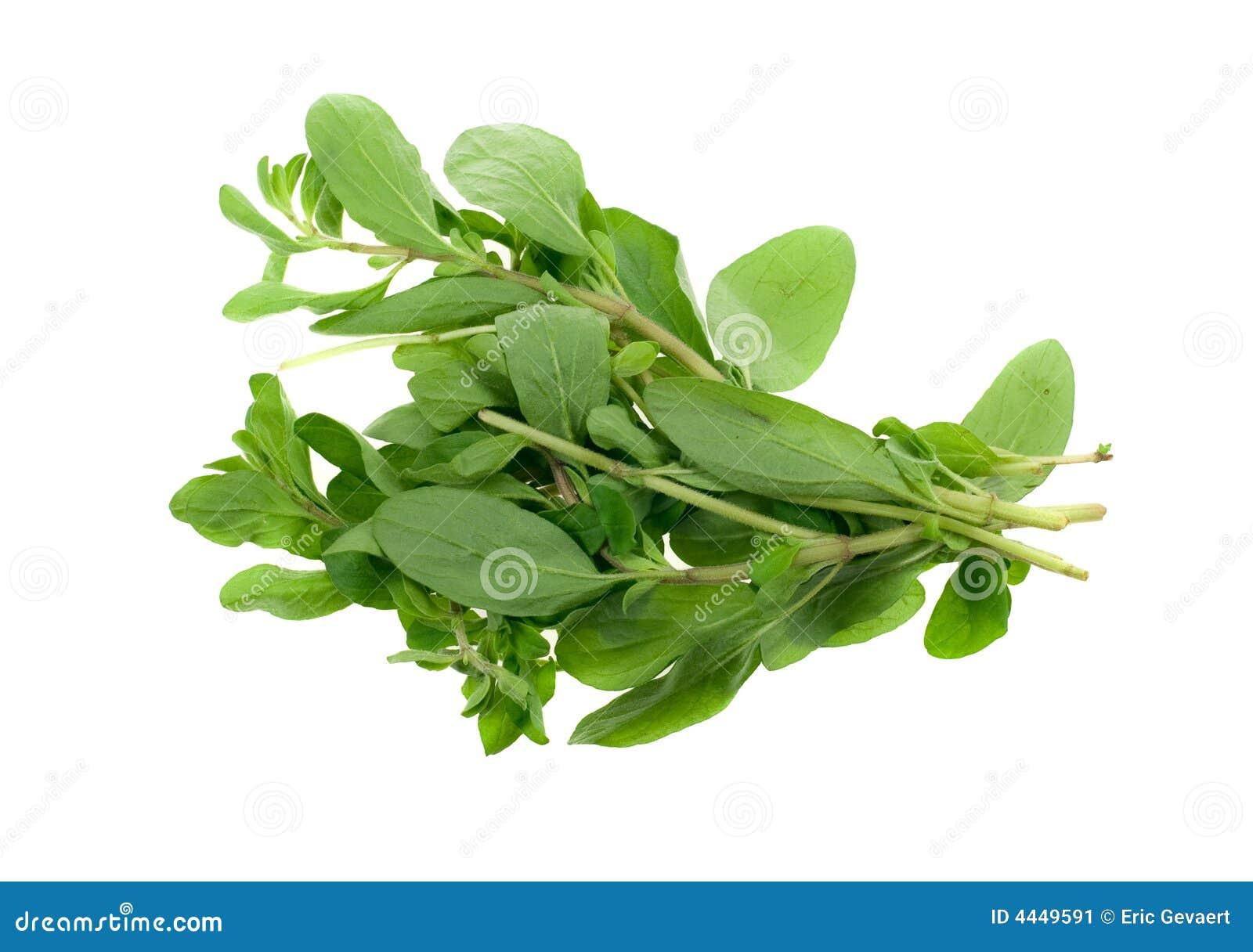 Herbe fraîche de marjolaine