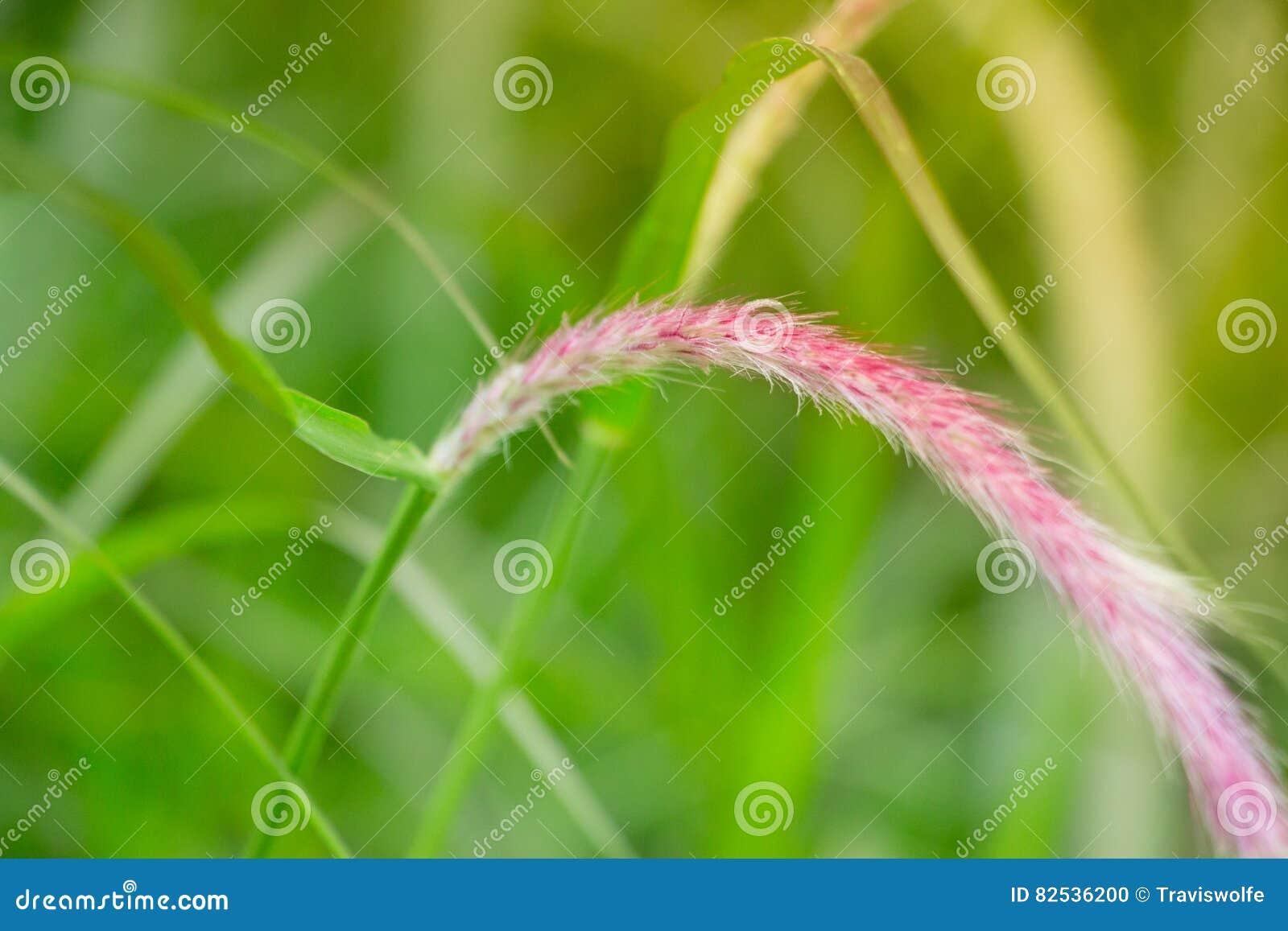 Herbe grande dans un domaine tranquille Macro tir en gros plan avec la fleur pourpre et rose sur le dessus de la lame d herbe dan