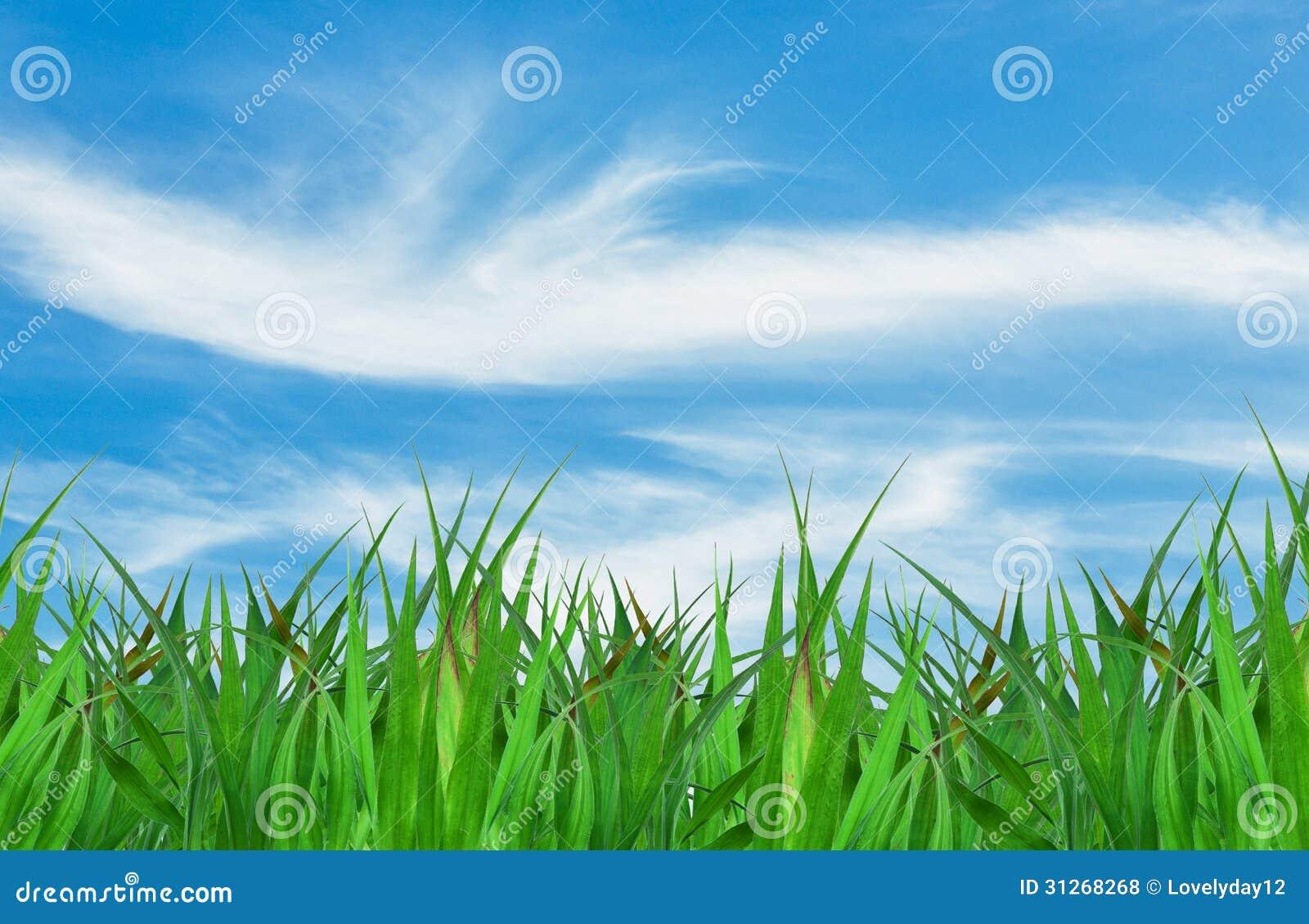 Herbe verte au-dessus d un fond de ciel bleu