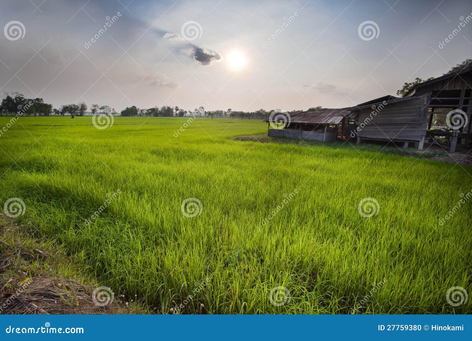 Herbe verte de gisement de riz