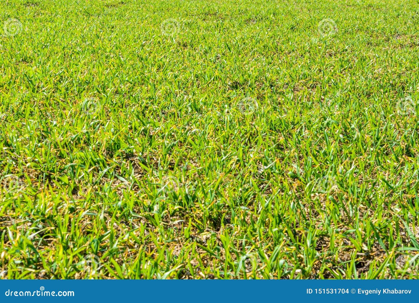 Herbe verte fraîche au jour ensoleillé de ressort La source Champ vert spacieux Fond, texture d herbe verte
