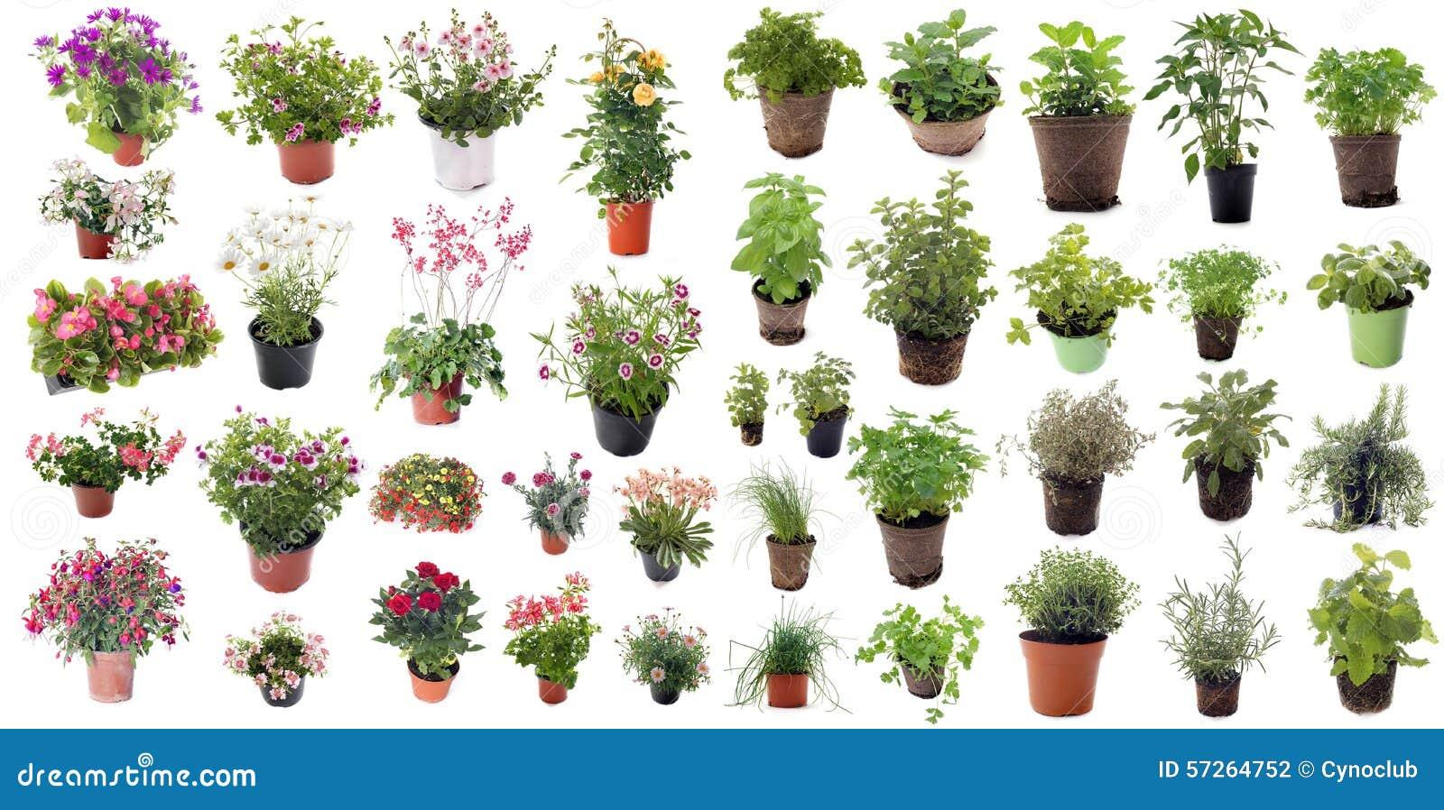 Herbes et plantes aromatiques de fleur photo stock image for Plantes aromatiques
