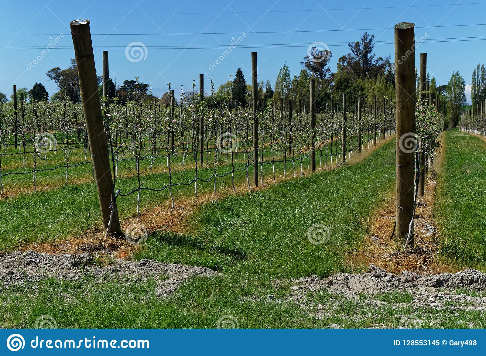 Herbizidgebrauch, Apfelgarten, Neuseeland